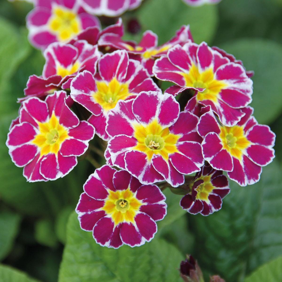 Kronen-Primel 'Victoriana Lilac'