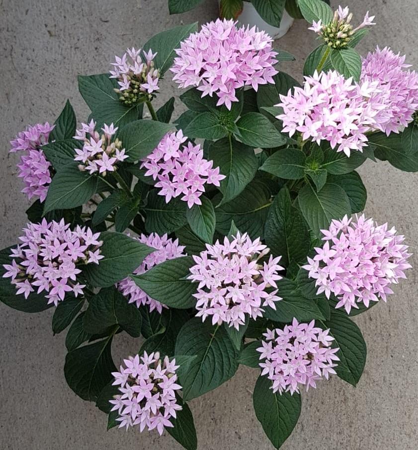 Sternblume (Pentas lanceolata) 'Starcluster Lavender' T12