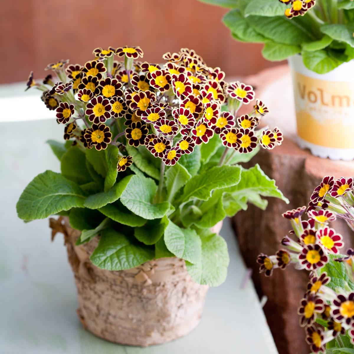 Kronen-Primel 'Victoriana Chocolate'