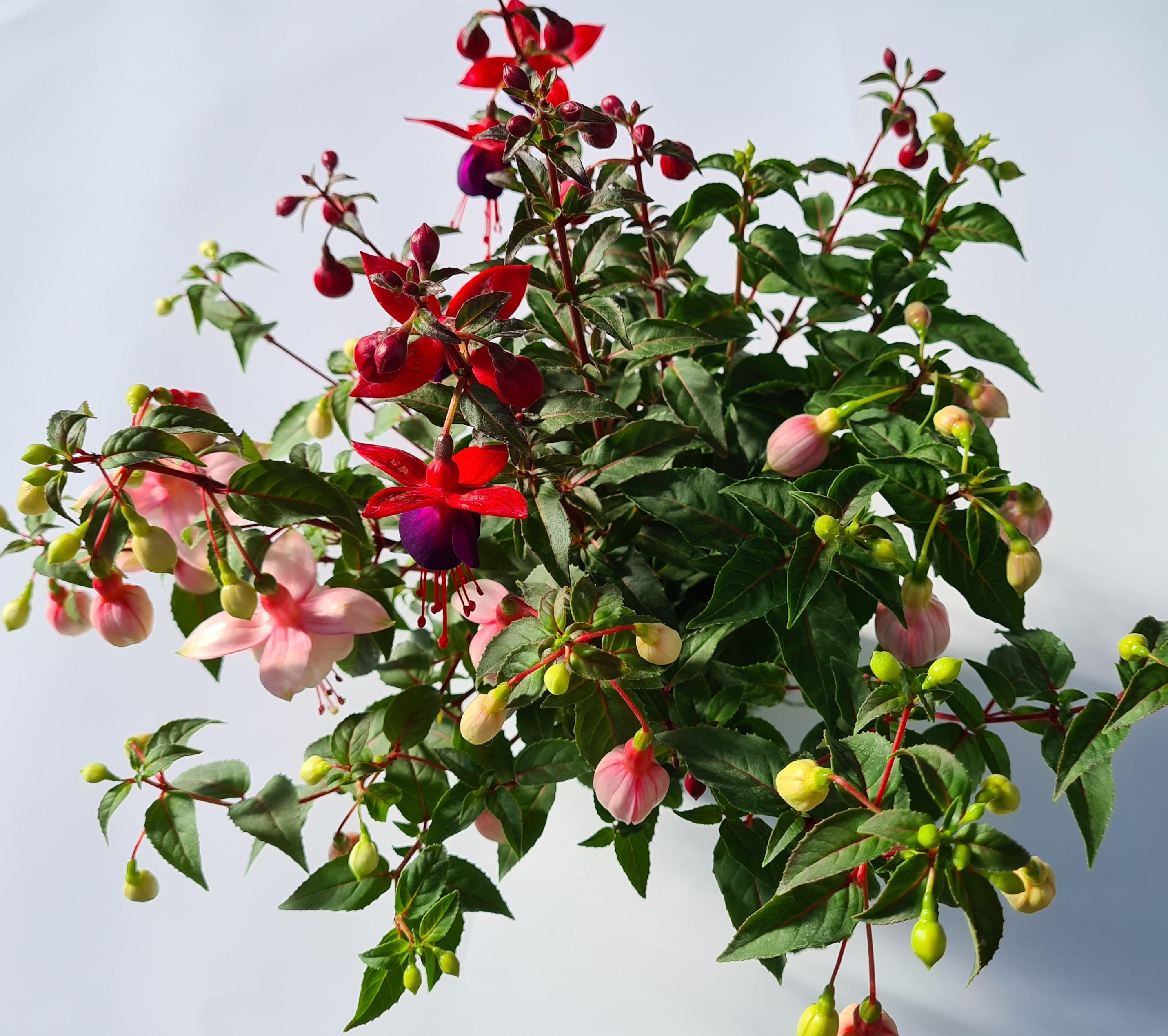 Fuchsien Trio - 3 Farben in einem Topf