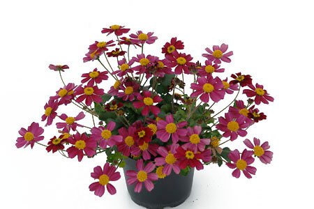 "Bidens Goldmarie ""Stoplight"""