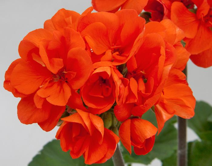 Geranie aufrecht wachsend | orange gefüllt | 2 Stück