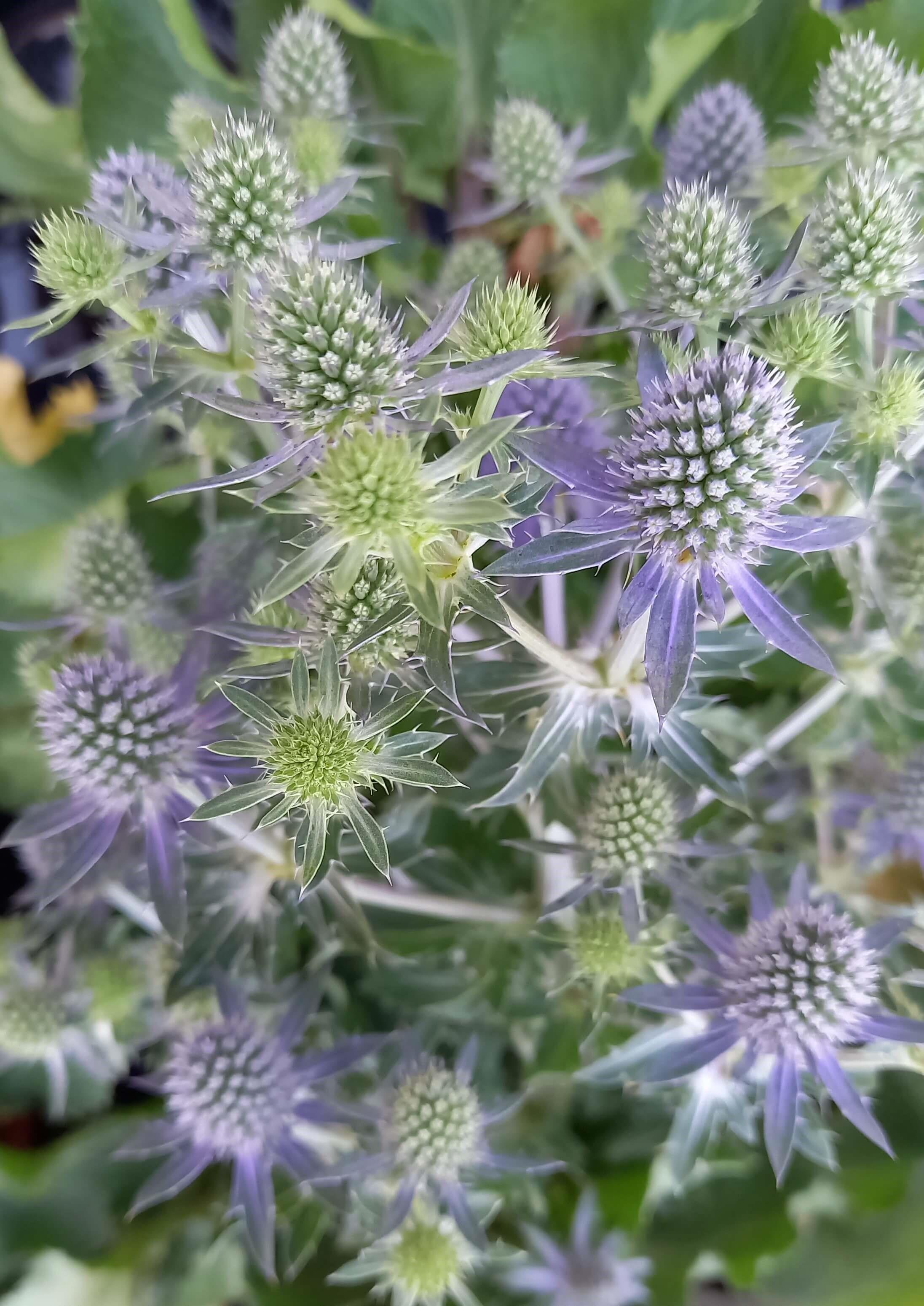 Flachblatt-Mannstreu (Eryngium planum) 'Blue Hobbit' T12 Edeldistel - winterhart