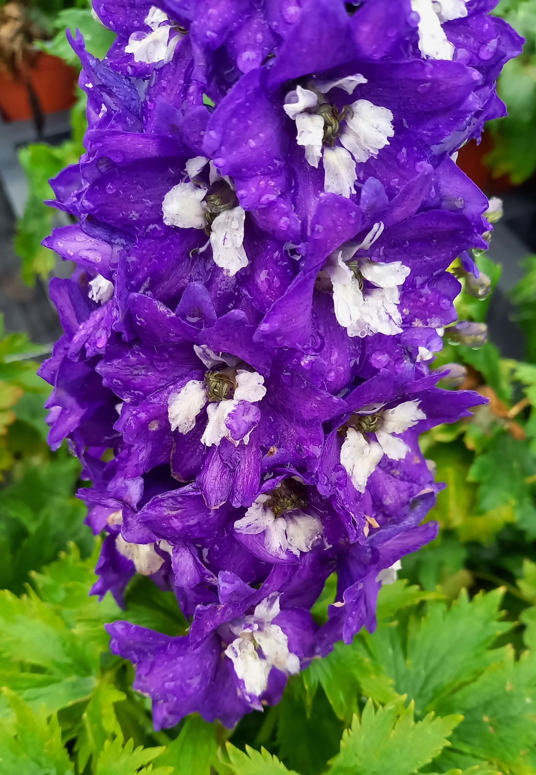Rittersporn (Delphinium) 'Delphina Dark Blue White Bee' T12  -winterhart-