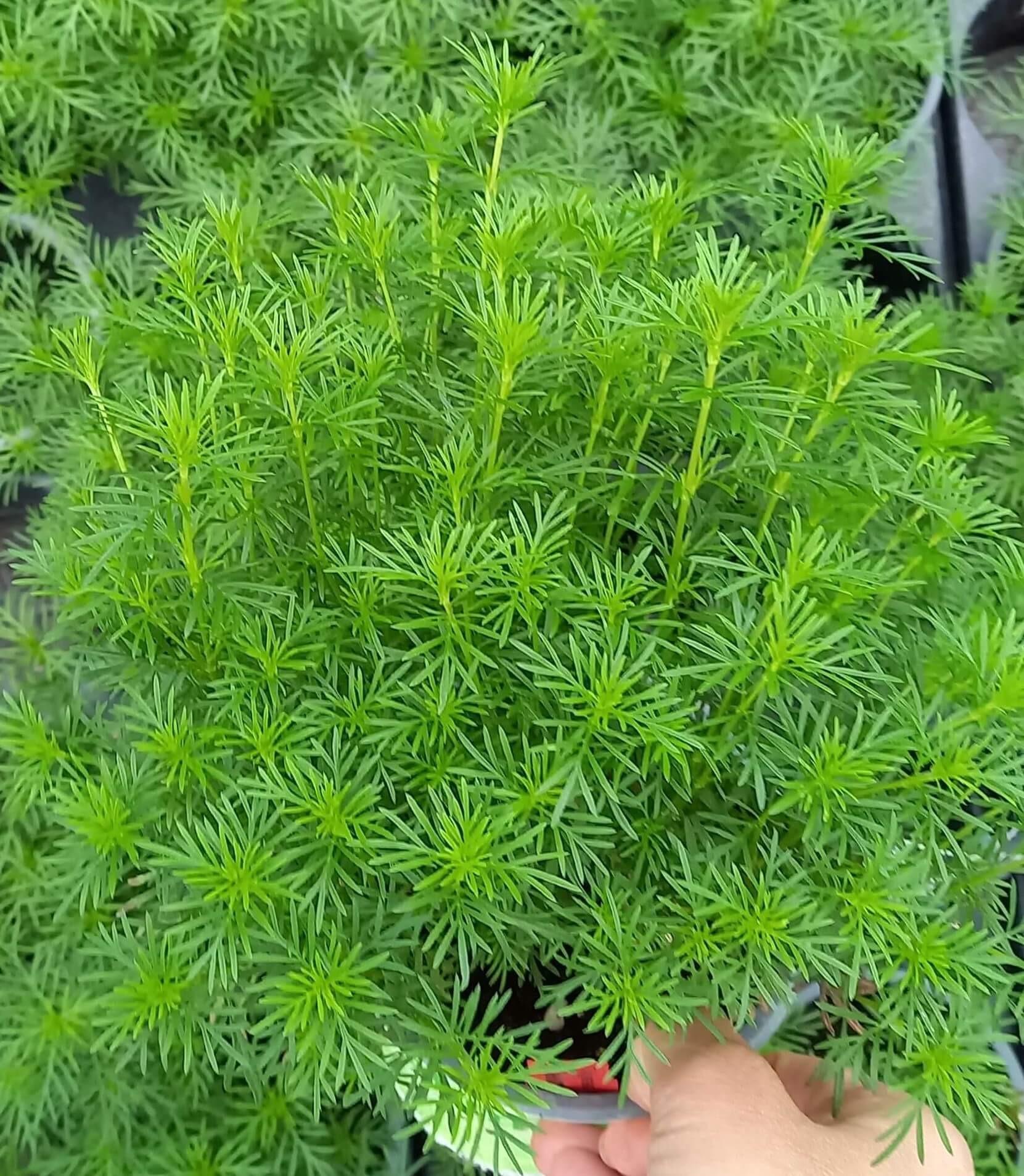 Lakritz-Tagetes (Tagetes filifolia) 'Salmi' T12 - Rarität!