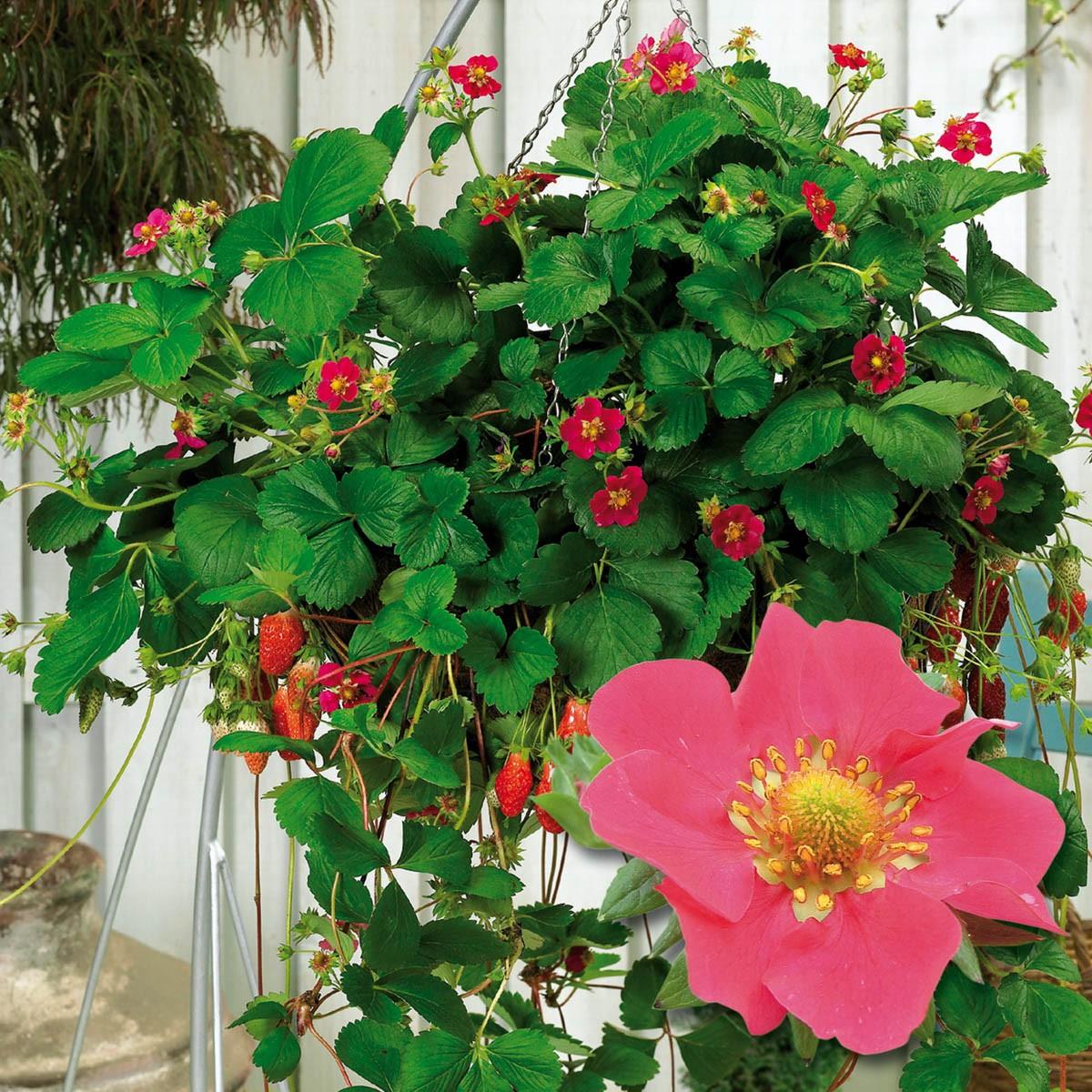 Aroma-Erdbeere 'Camara'