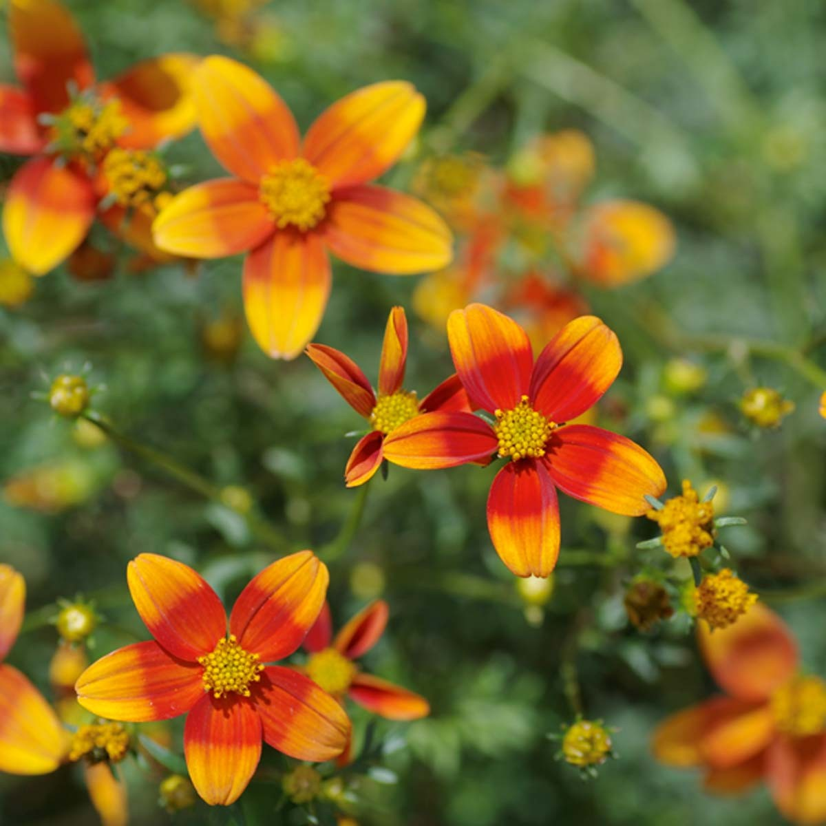 Bidens Funkenmarie 'Hawaiian Flare Orange Drop'
