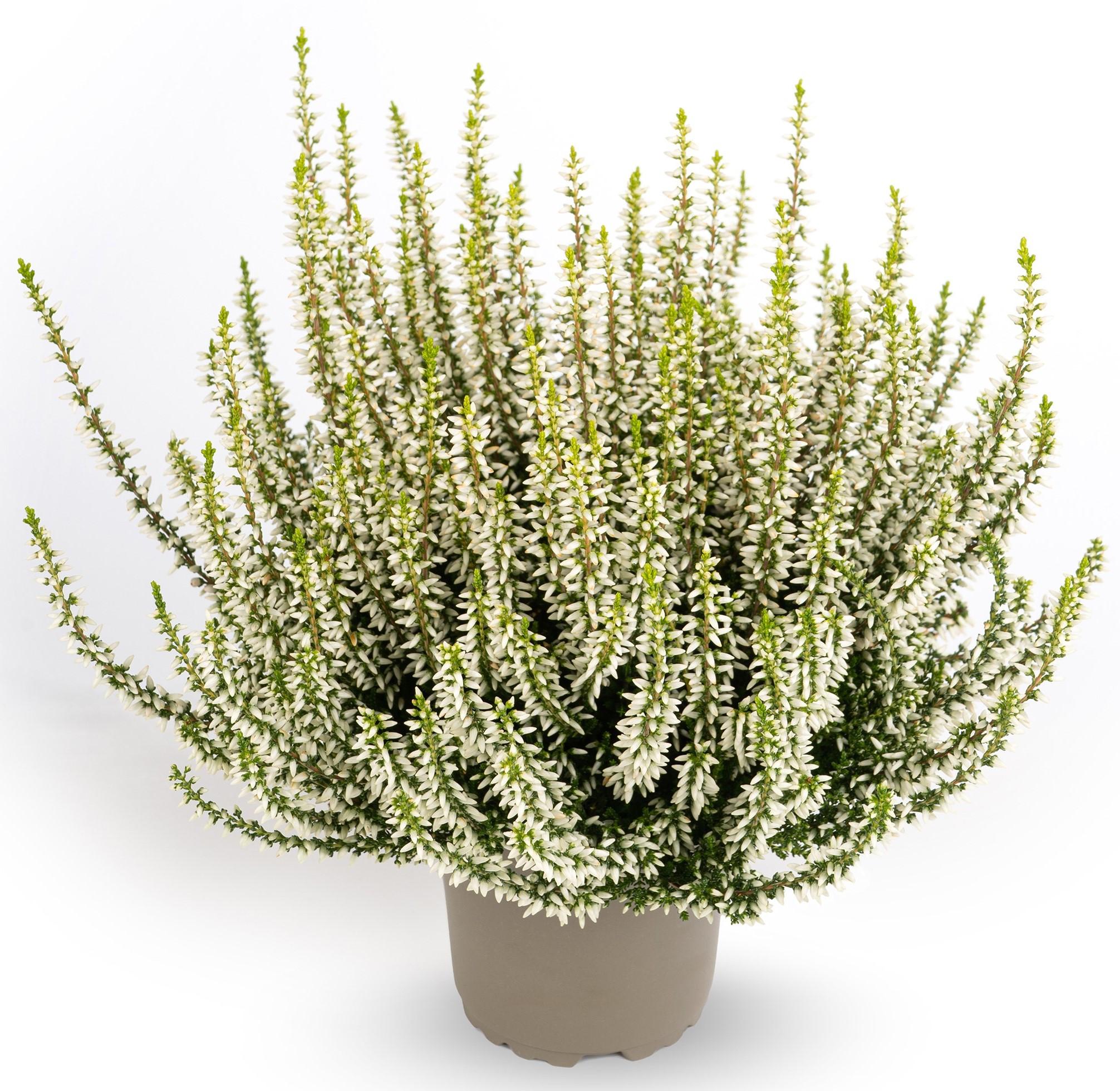 Knospenheide (Calluna vulgaris) Gardengirls® Elisa - weiß