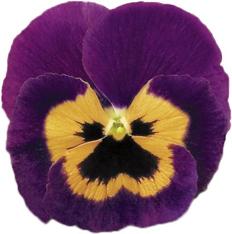 Stiefmütterchen (Viola) Violet und Orange