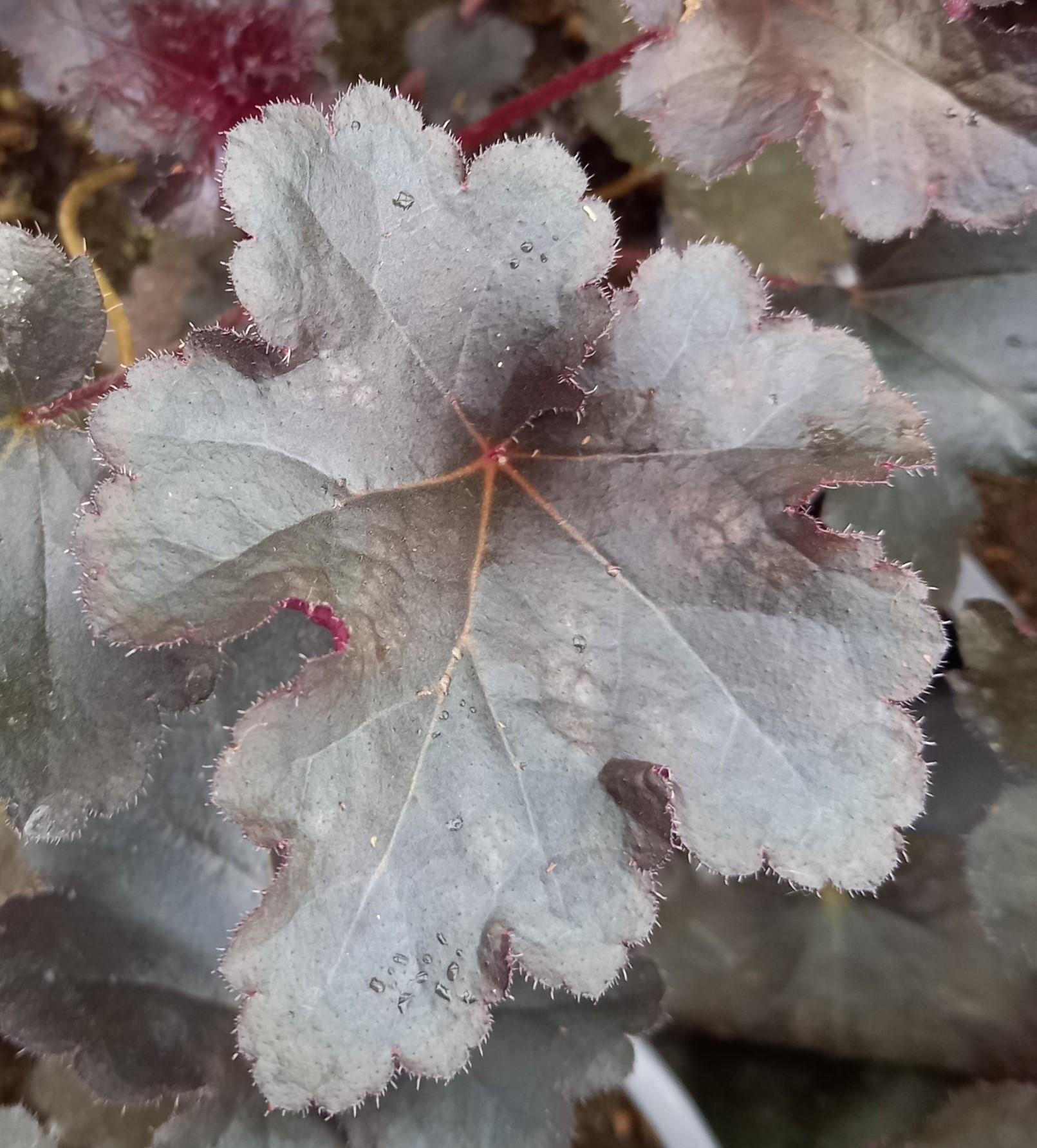 Purpurglöckchen (Heuchera) 'Black Pearl' T12, violett-schwarz - winterhart