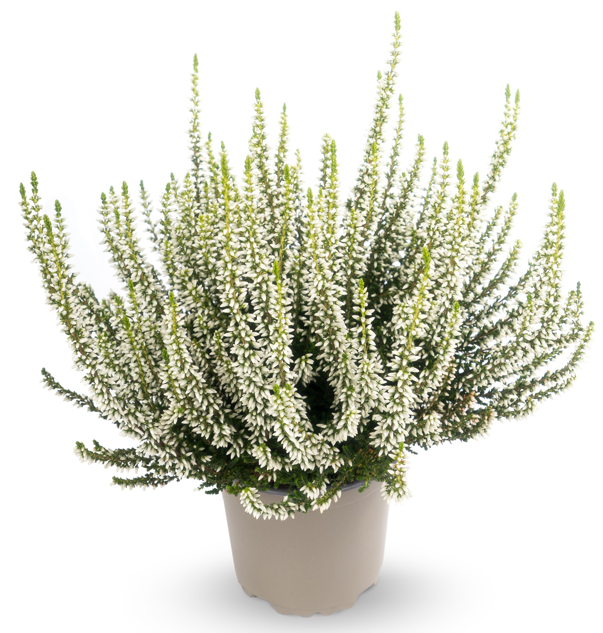 Knospenheide (Calluna vulgaris) Gardengirls® Helena - weiß
