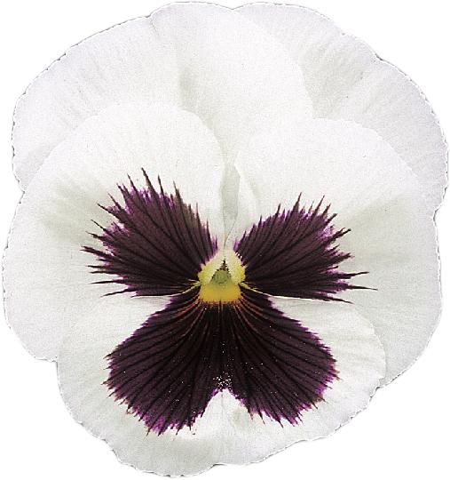 Stiefmütterchen (Viola) weiß mit Auge