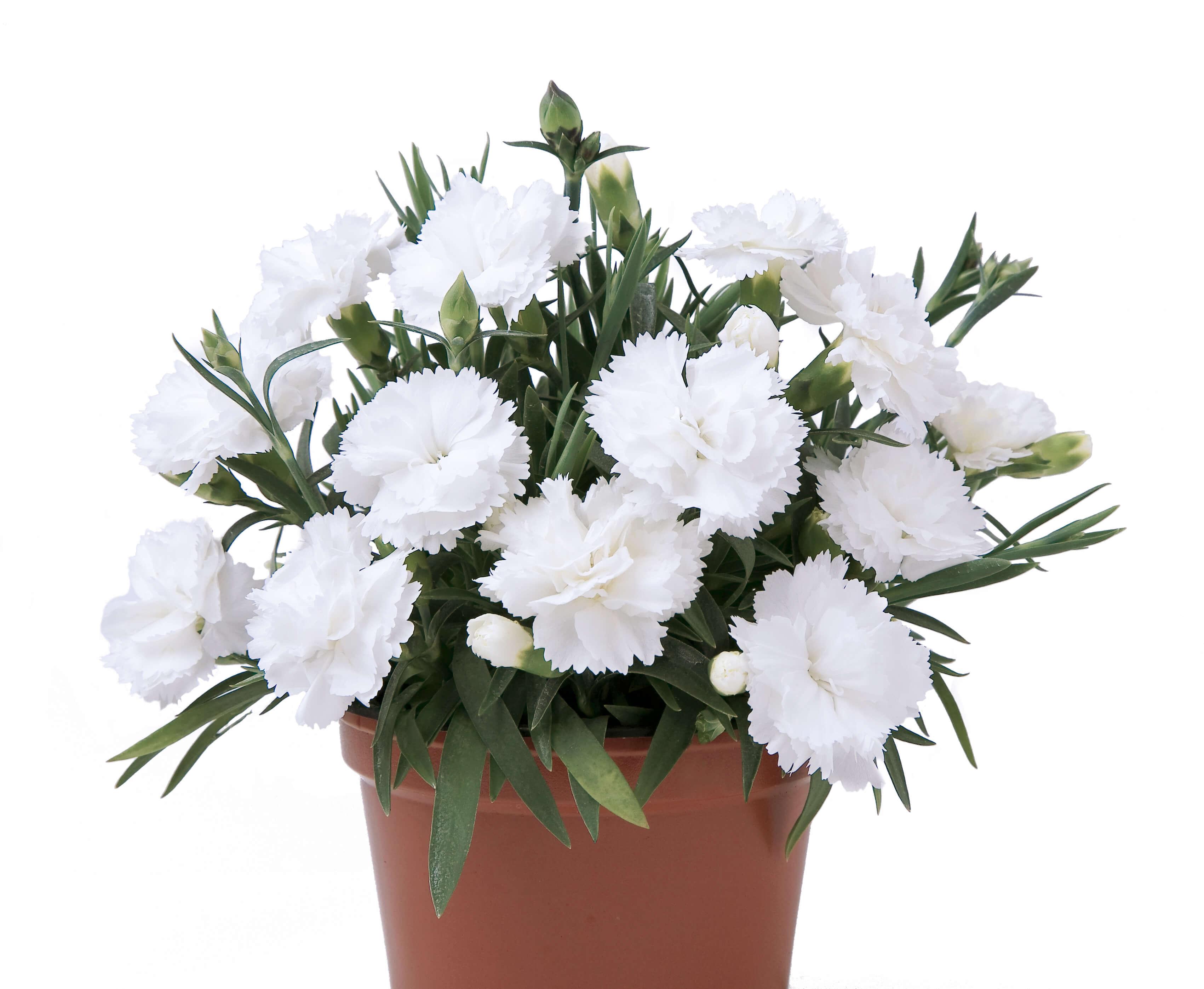 """Nelke (Dianthus) gefüllt """"SuperTrouper®"""" Witney - weiß"""