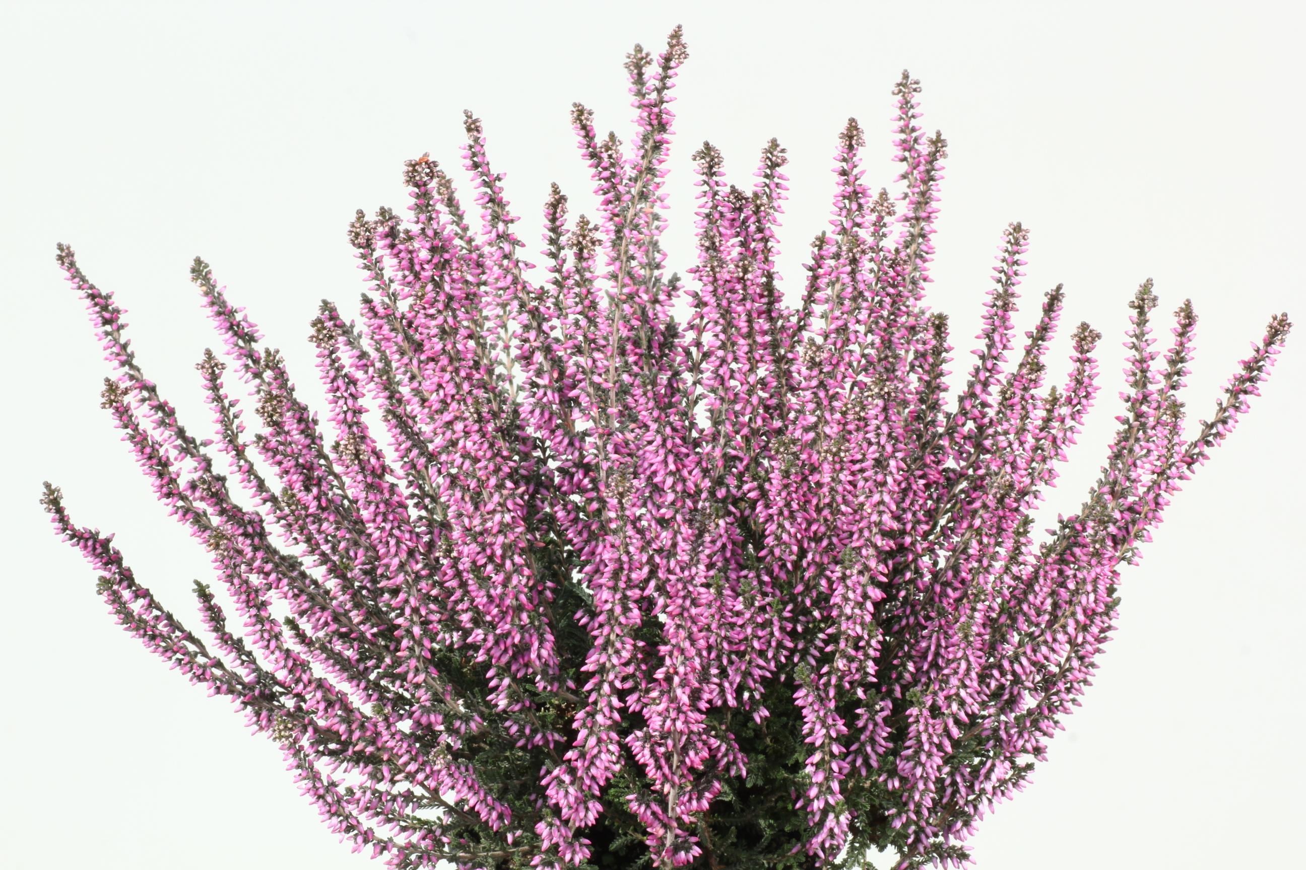 Knospenheide (Calluna) winterhart Gardengirls® Lisbeth lilarosa
