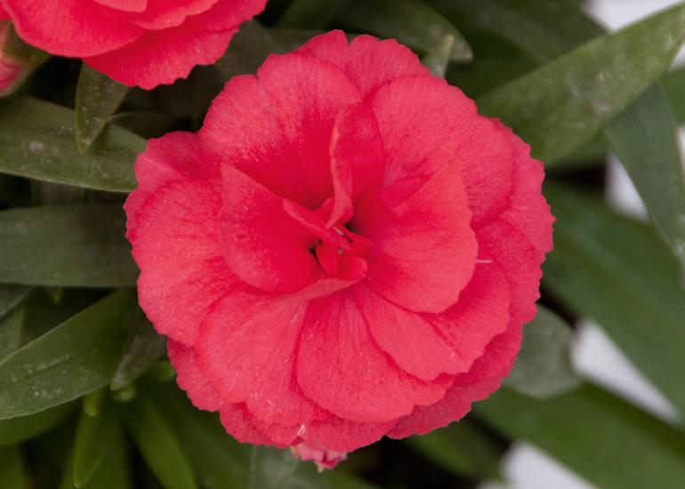 Nelke (Dianthus) T12 Oscar® 'Red' - gefüllt blühend