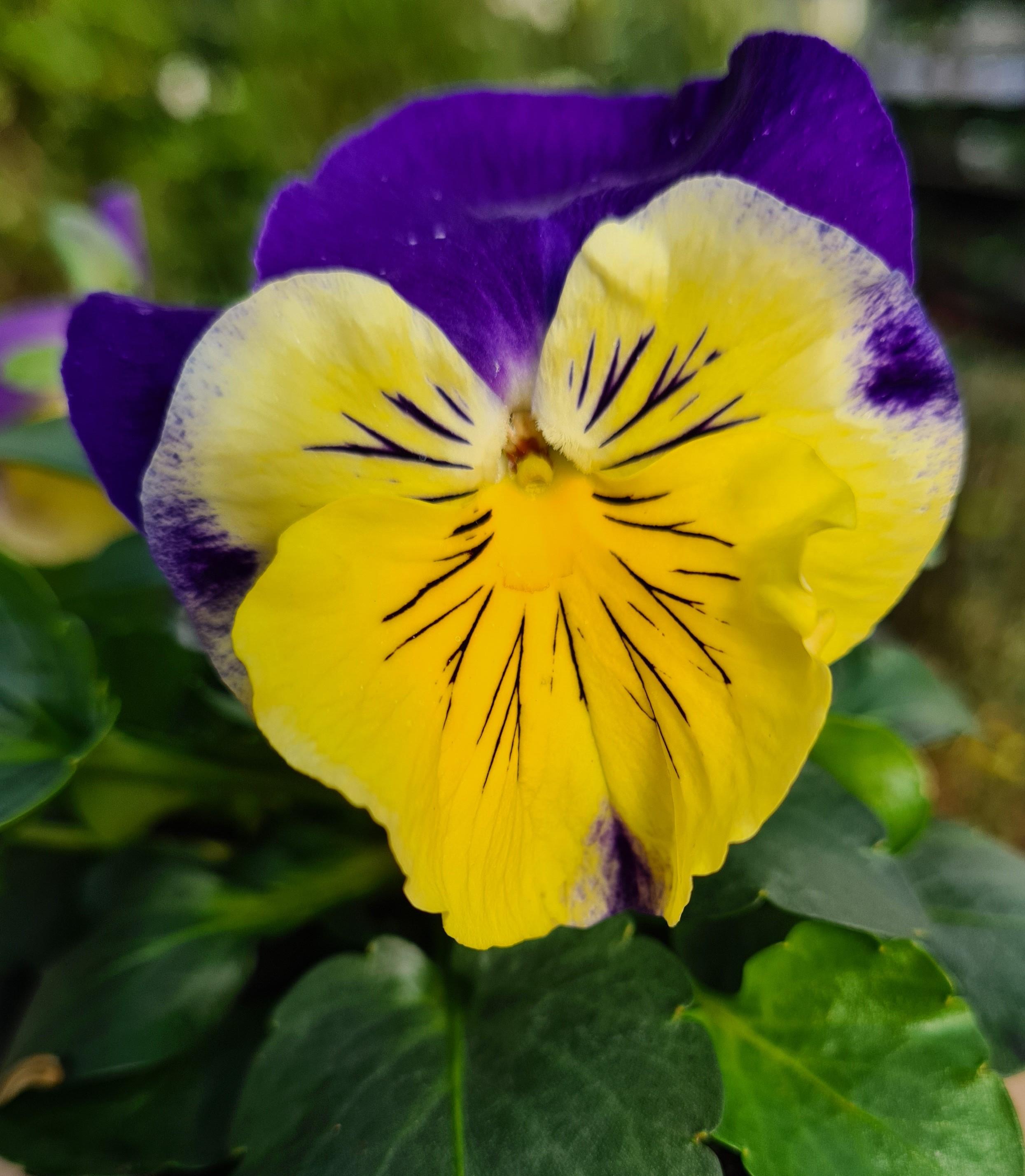 Stiefmütterchen (Viola) F1 Morpheus   gelb mit blauer Fahne