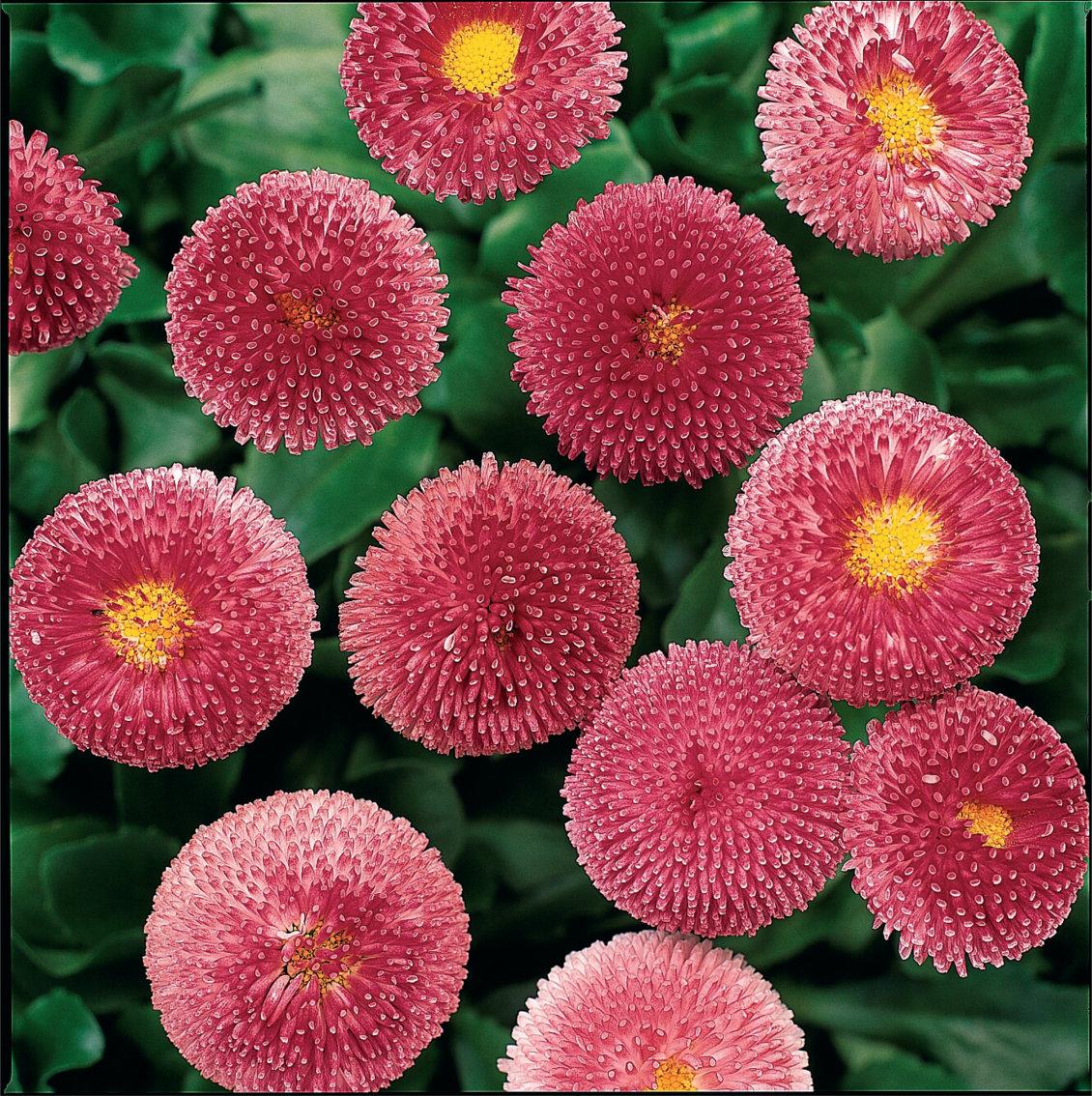 Edel Gänseblümchen (Bellis) rosa großblütig