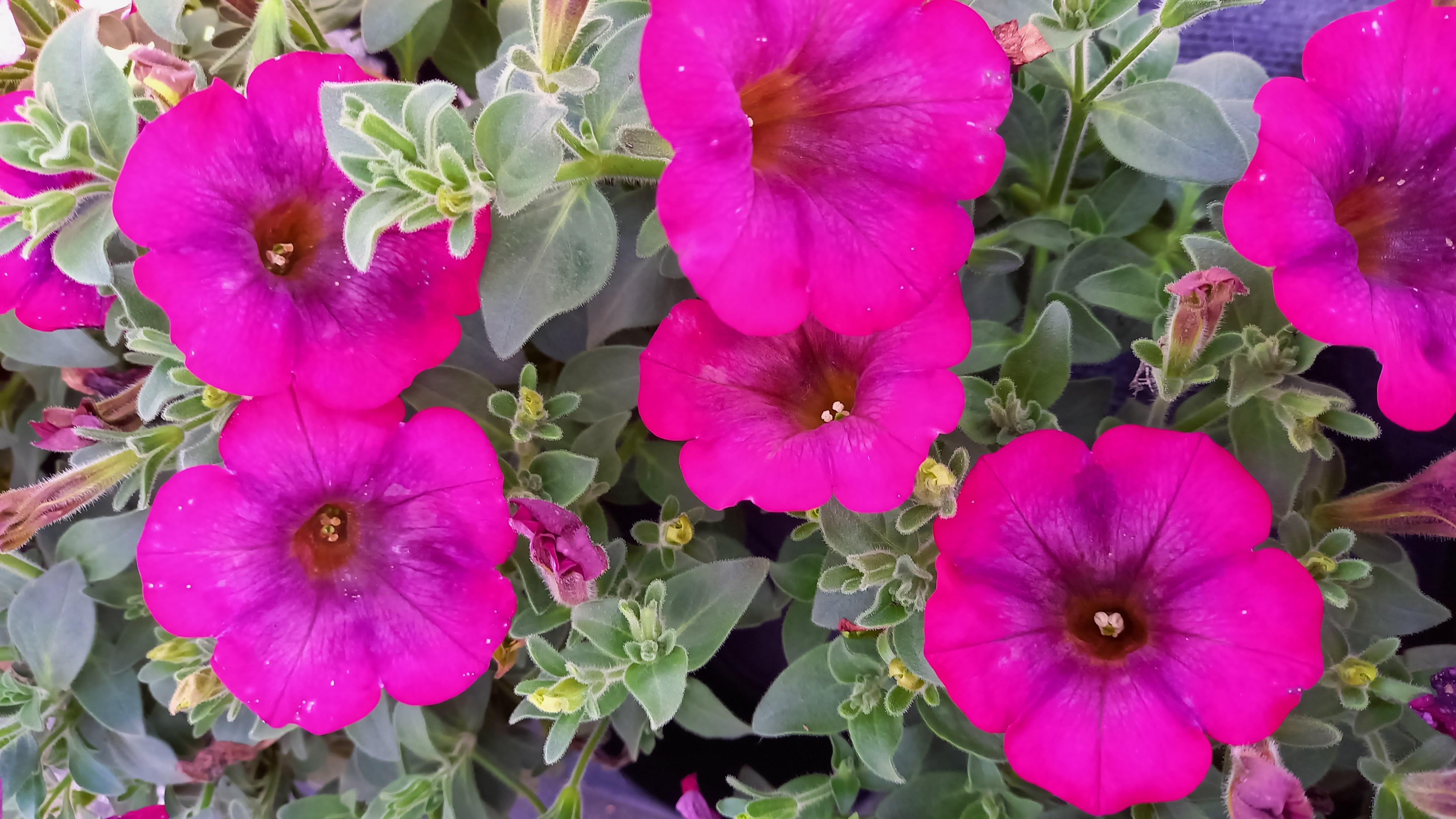 Petunie 'Purple Cream' T12