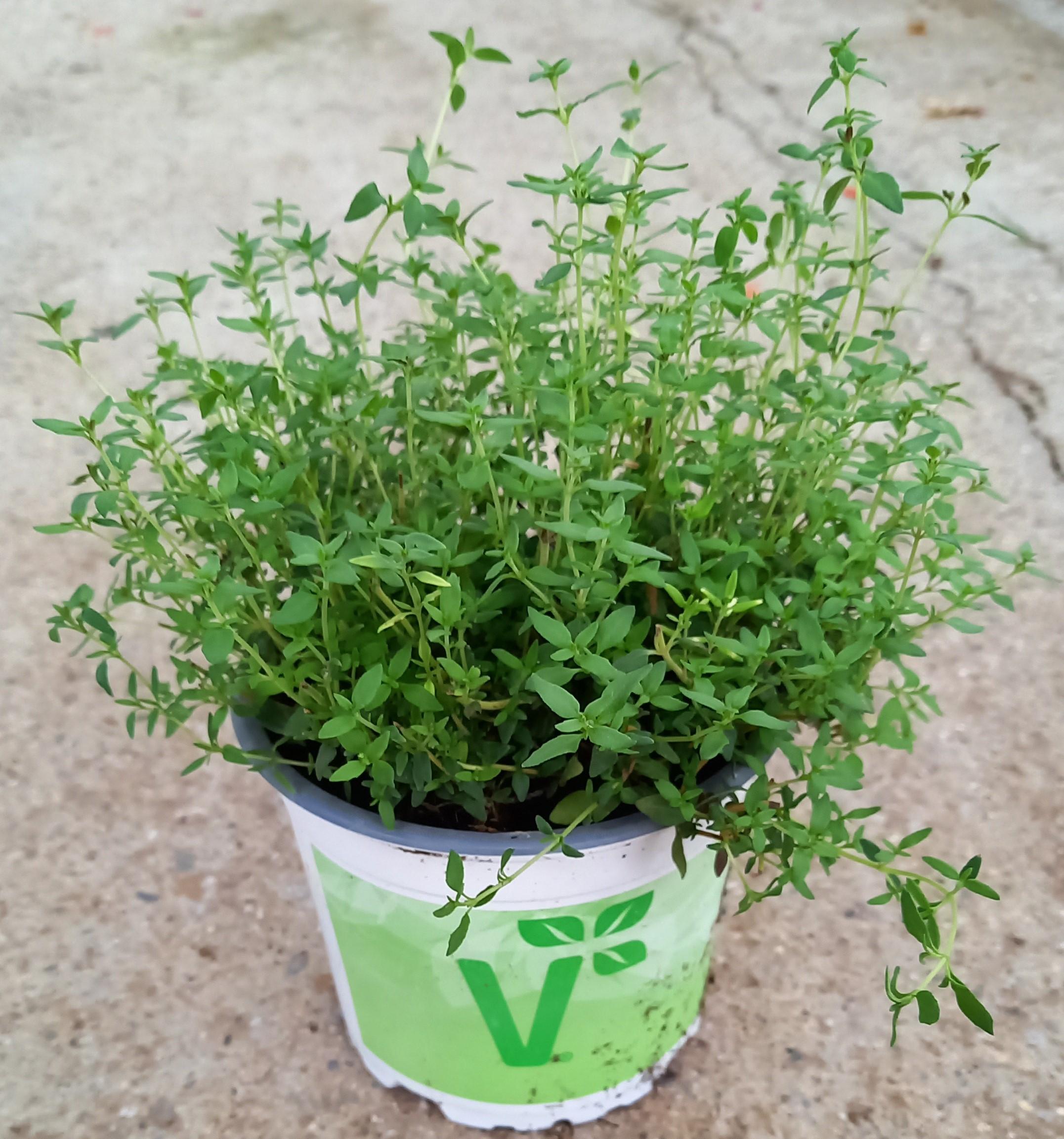 Echter Thymian (Thymus vulgare) 'Tim' T12 - winterhart