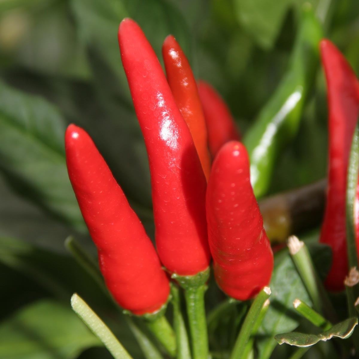 Thai-Chili Rawit 'Impressa'