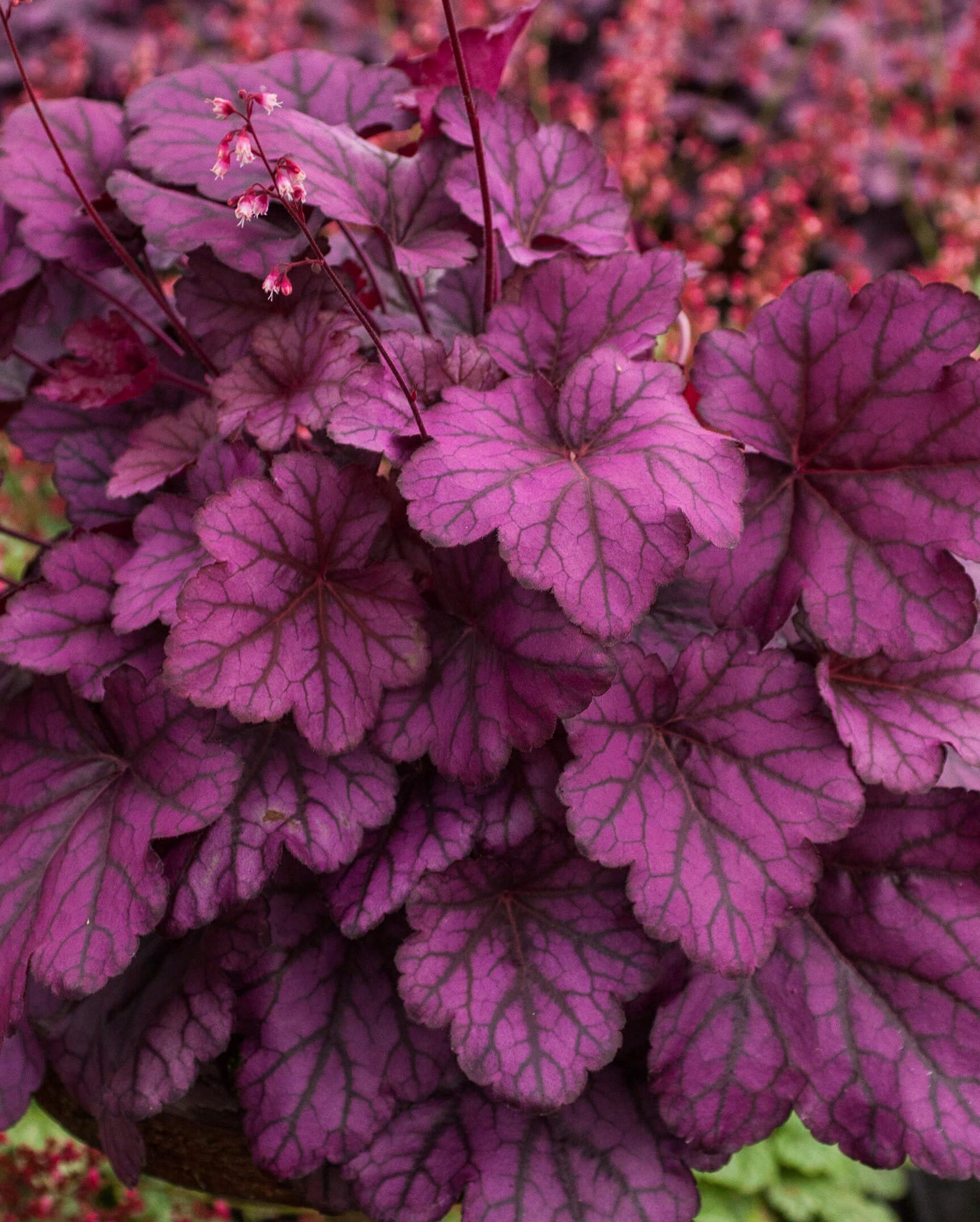 Purpurglöckchen (Heuchera) 'Wild Rose' T12, dunkelrosa - winterhart