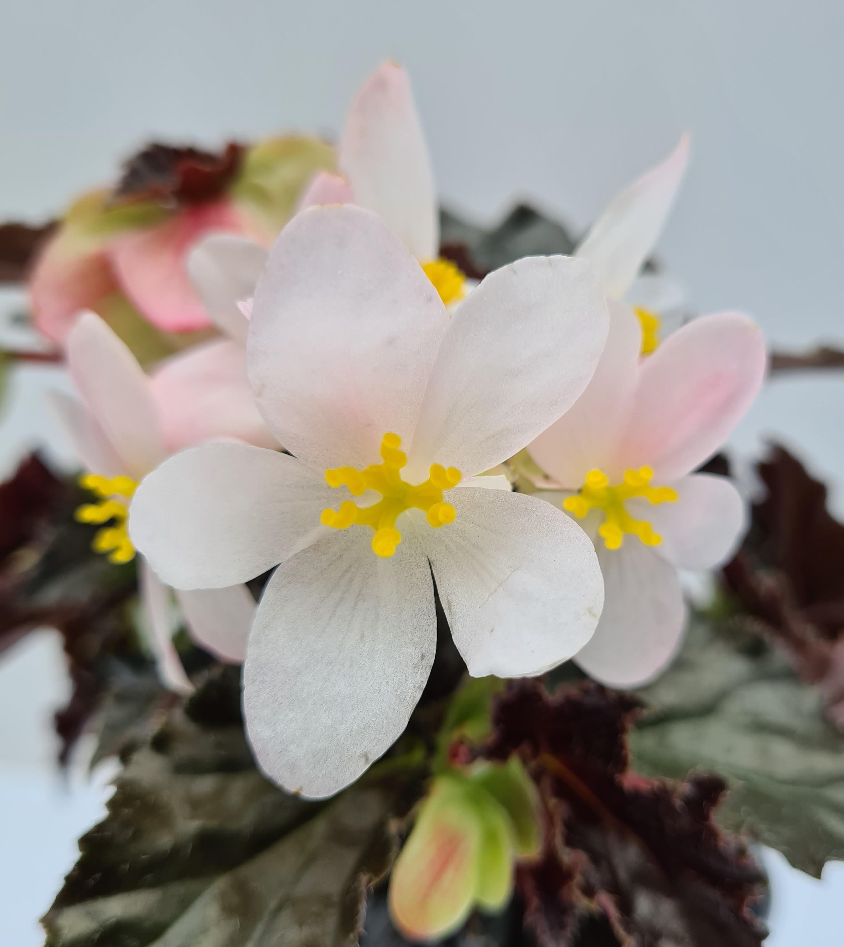 Begonie Richmondensis T12 dunkellaubig weiß