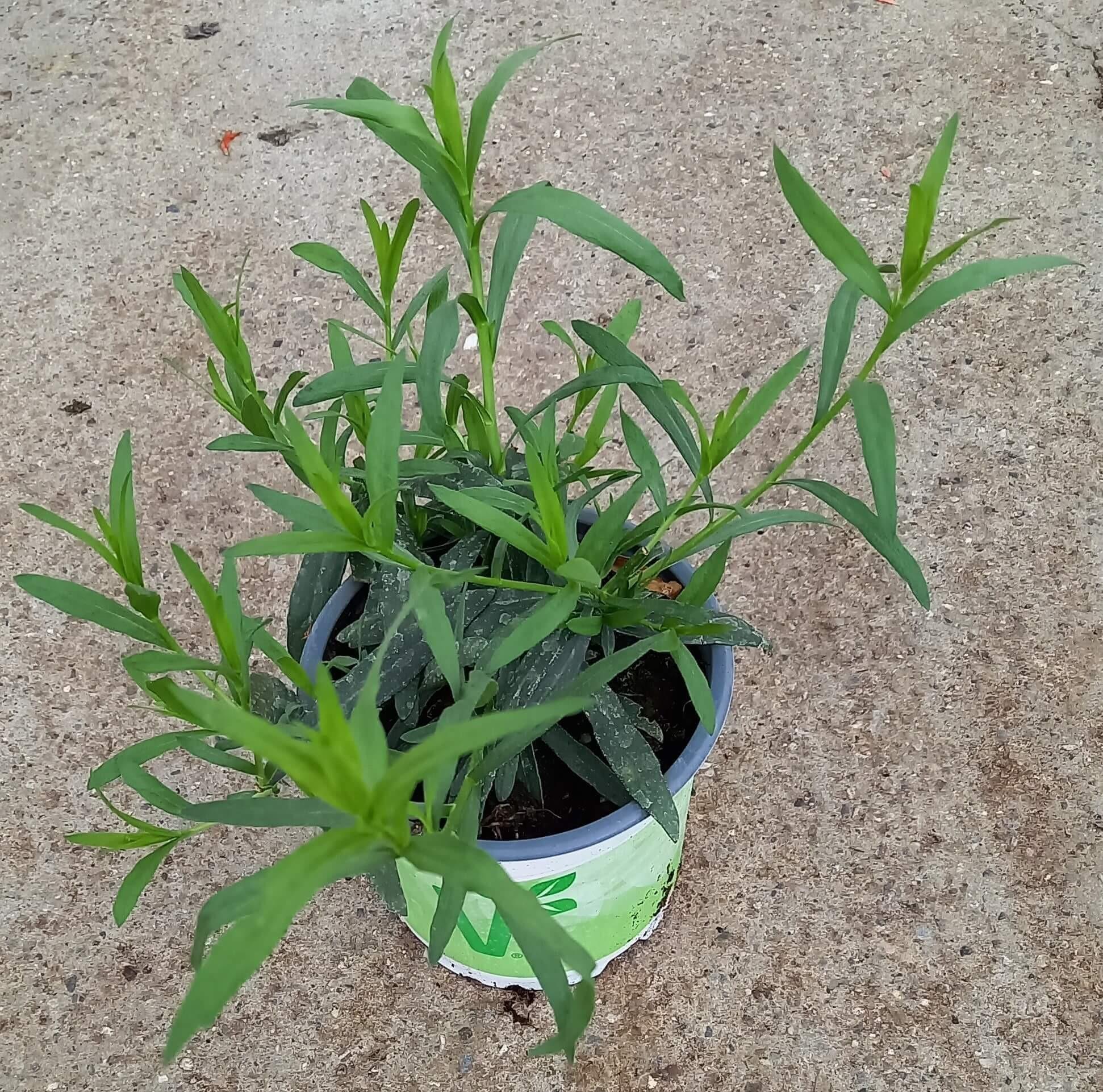 Anis-Estragon (Artemisia dracunculus) 'Vienco® T12