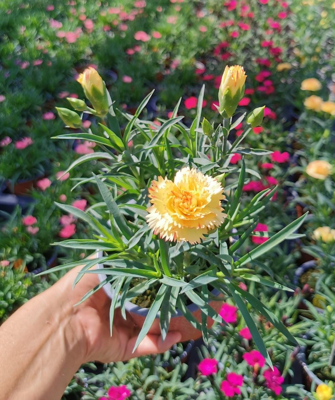 Nelke (Dianthus)  'Colores® Oro' T12, gelb gefüllt - winterhart