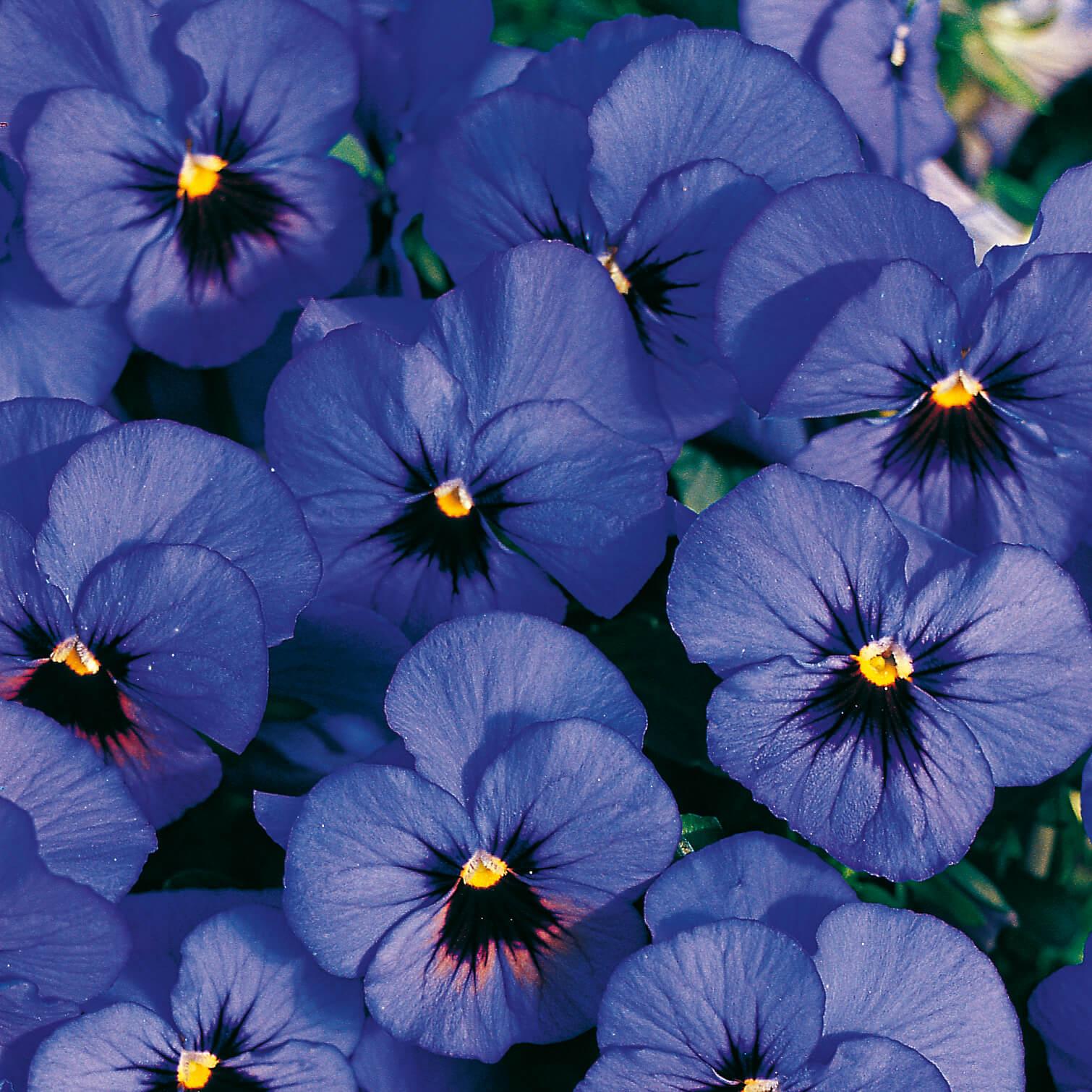 Hornveilchen (Cornuta) blau mit Auge
