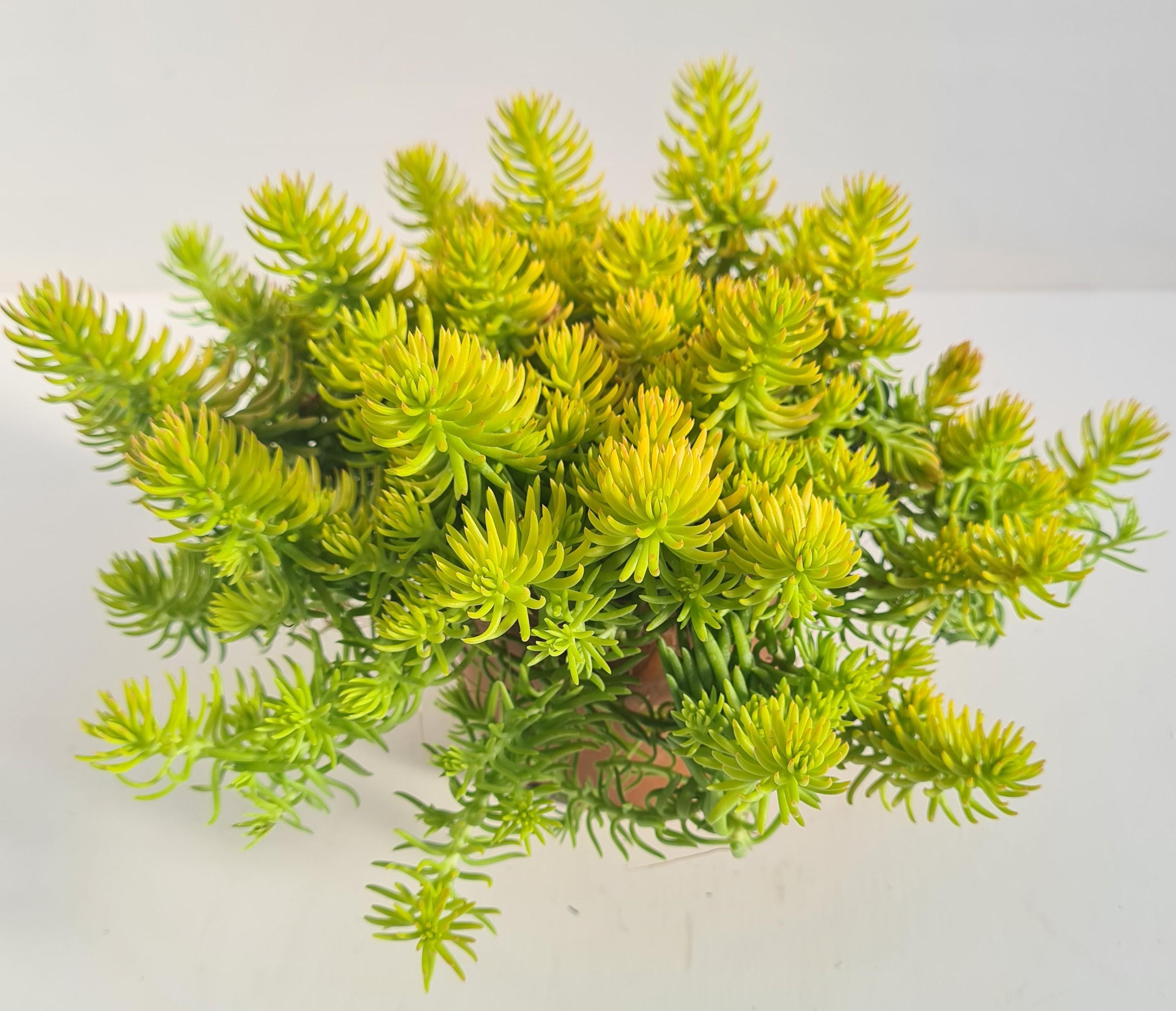 Sedum x hybridum T12 Winter Lemon - goldgelb - winterhart