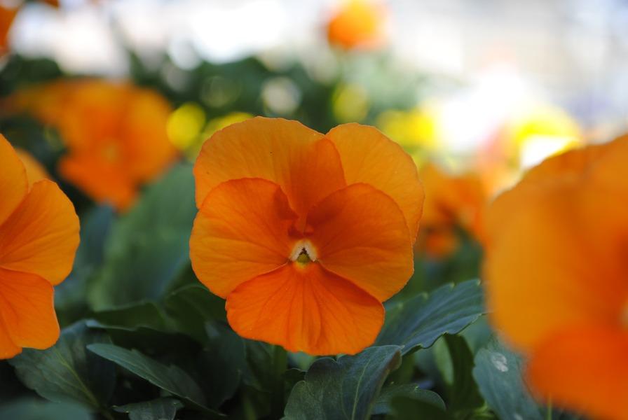 Hornveilchen (Cornuta) orange