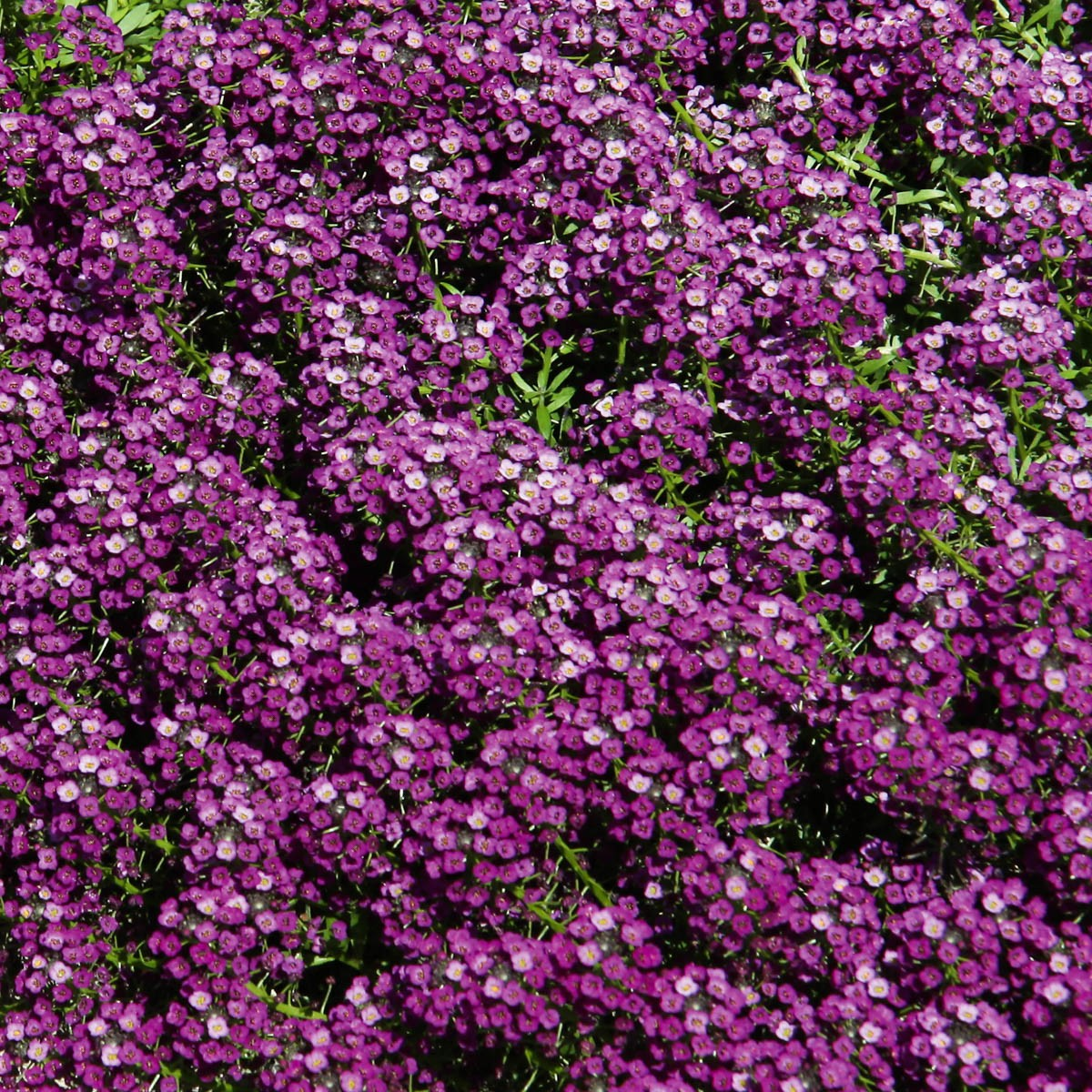 Duftsteinrich (Lobularia) 'Purple'