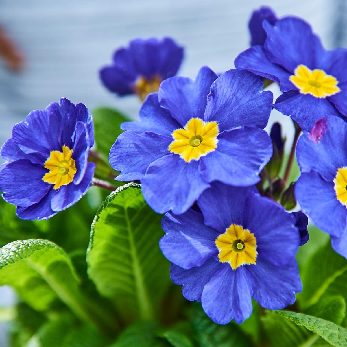 Stängel-Primel 'Inara® Blue'