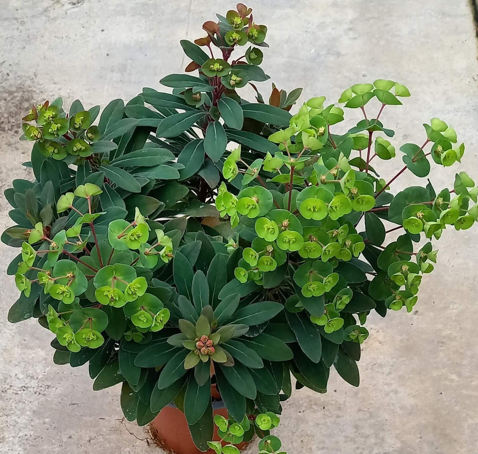 Mandelblättrige Wolfsmilch (Euphorbia amygdaloides) 'Efanthia' T12 - winterhart -