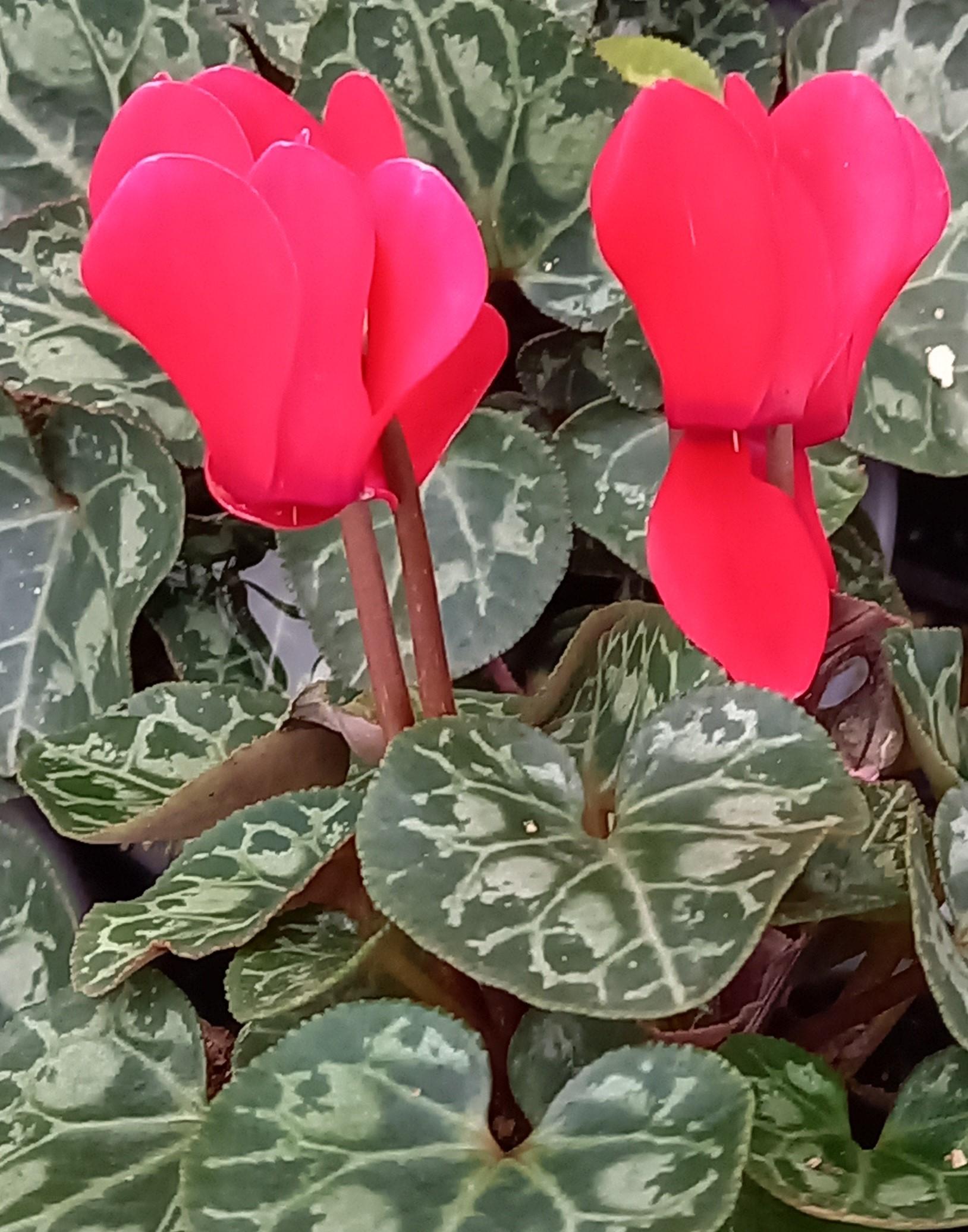 Alpenveilchen (Cyclamen persicum) 'Metis® Rouge Vif Compact' T11, rot