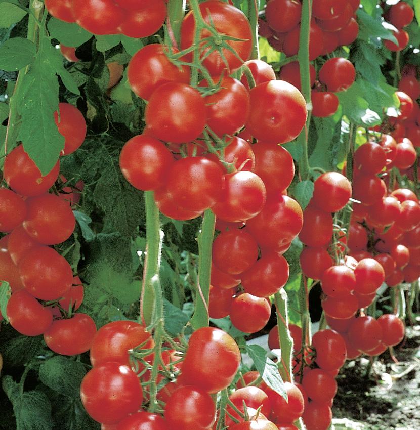 Runde Tomate Campos (veredelt) - 90 gr.
