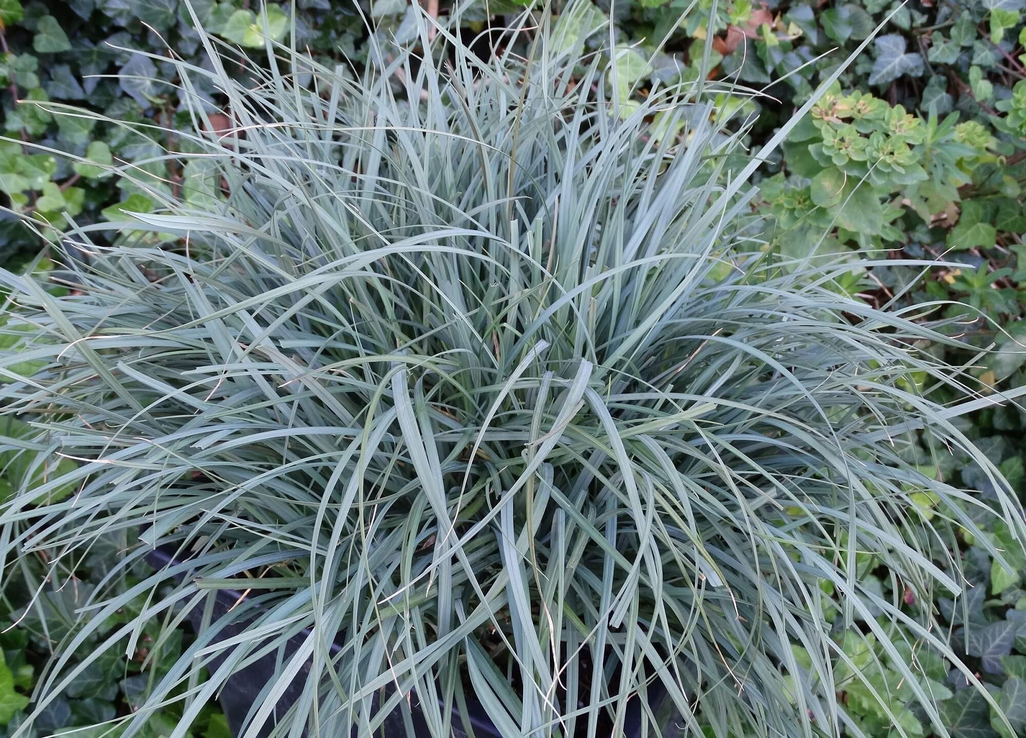 Hirse-Segge (Carex panicea) 'Pamira' T12 - winterhart