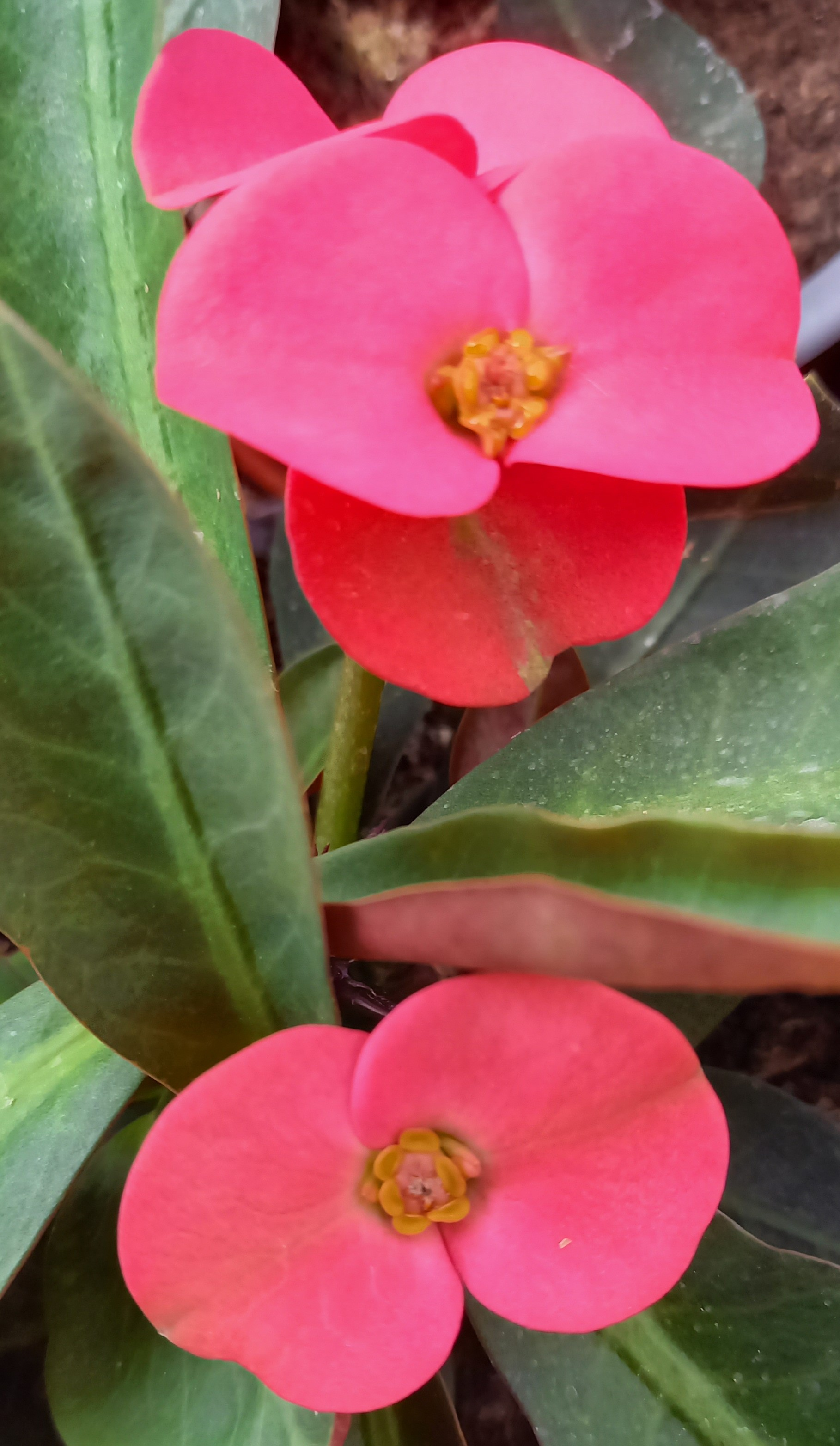 Euphorbia 'Hot Milii' T11, rot - TOP Neuheit!