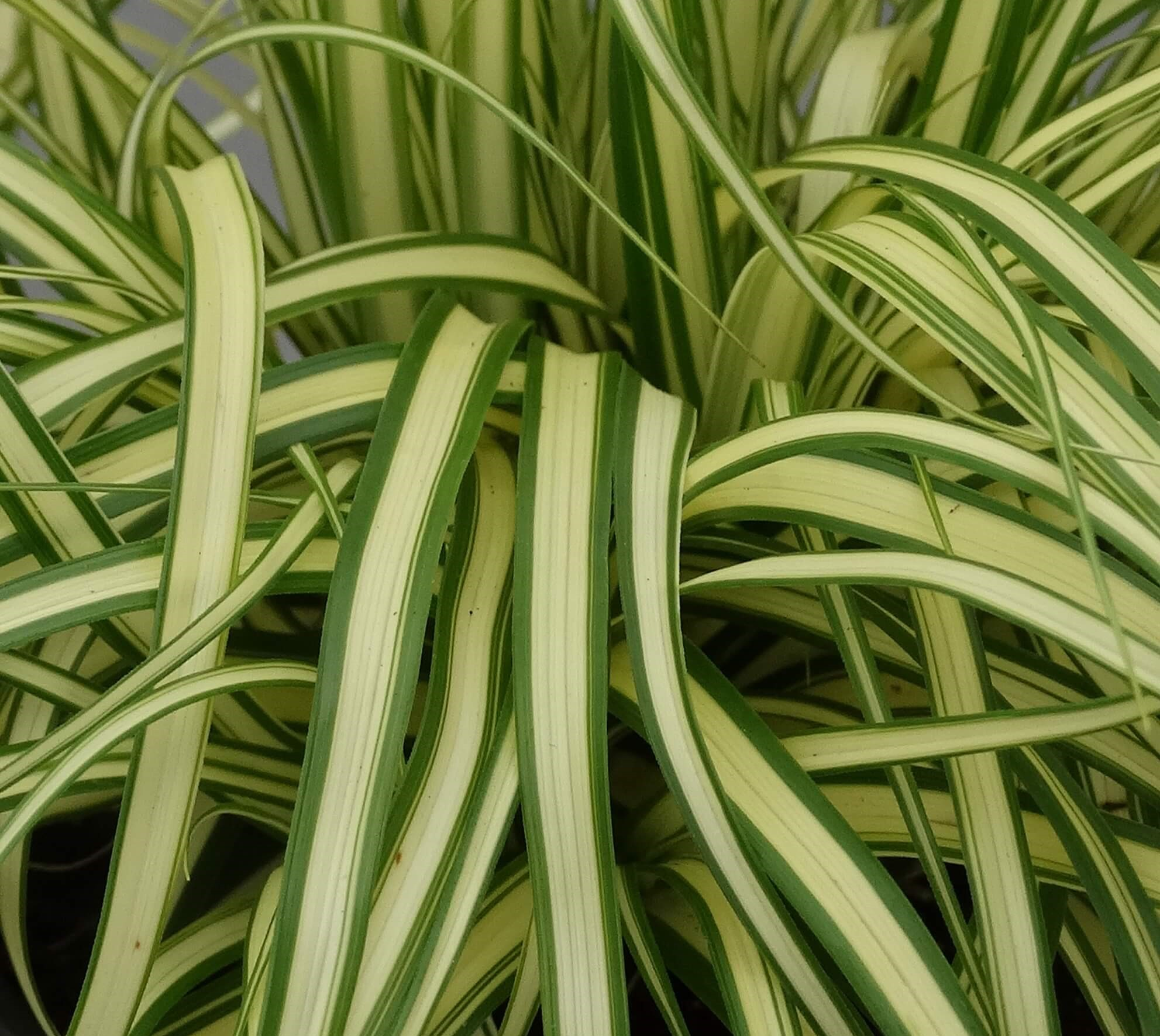 Japan-Gold-Segge (Carex oshimensis) 'Maxigold' T12 - winterhart
