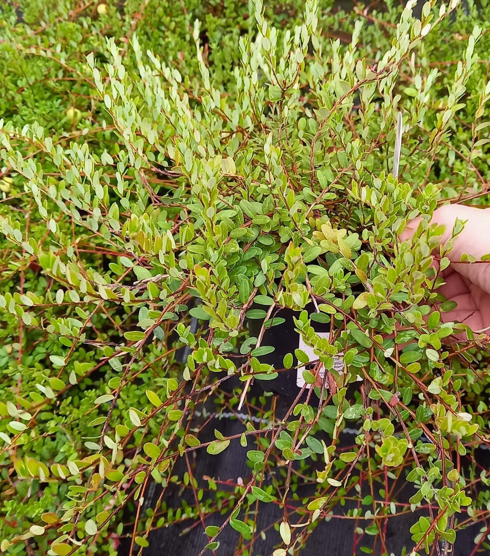 Großfrüchtige Moosbeere/Cranberry (Vaccinium macrocarpon)  T10 - winterhart