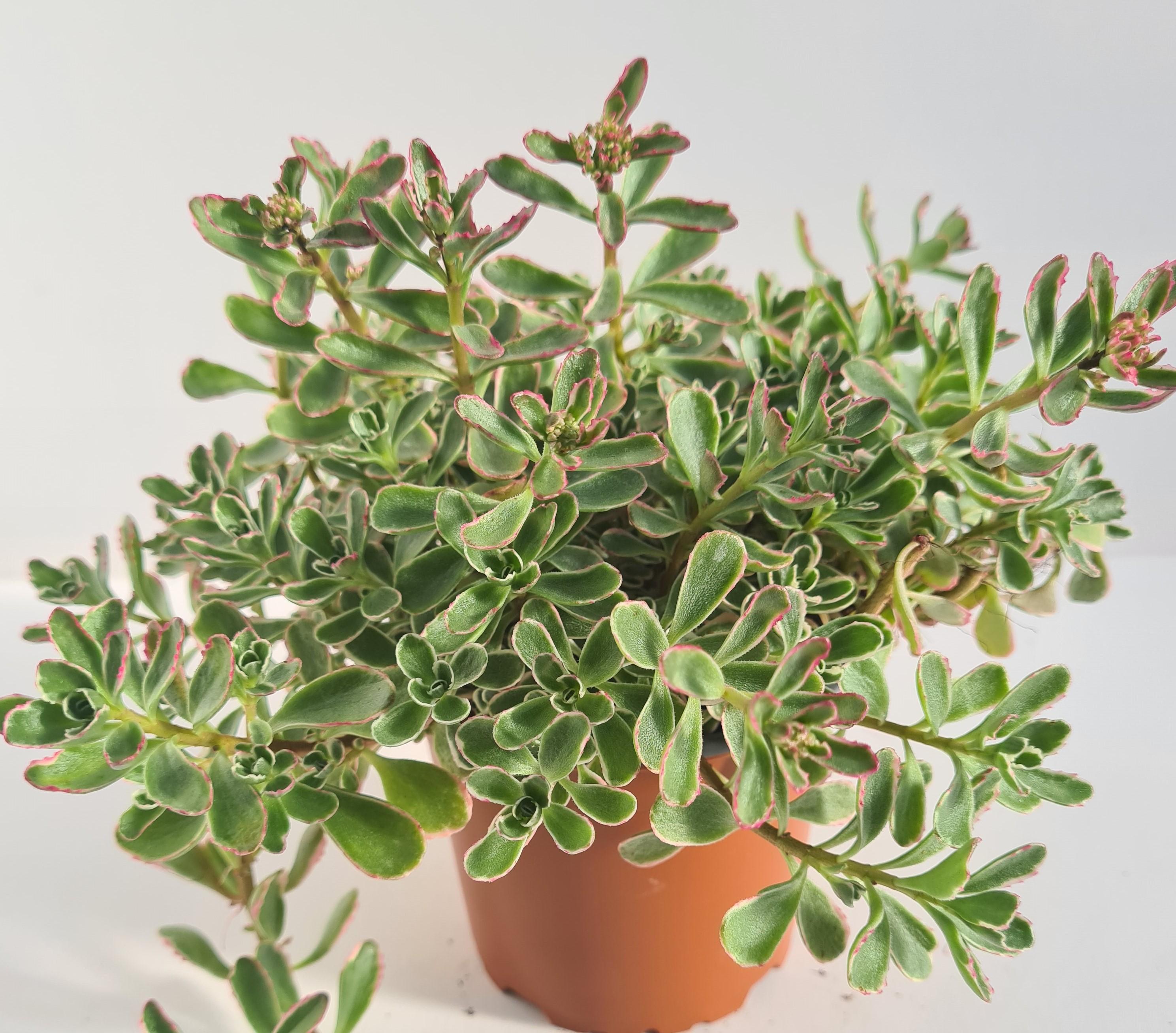 Sedum spurium T12 Variegatum - winterhart