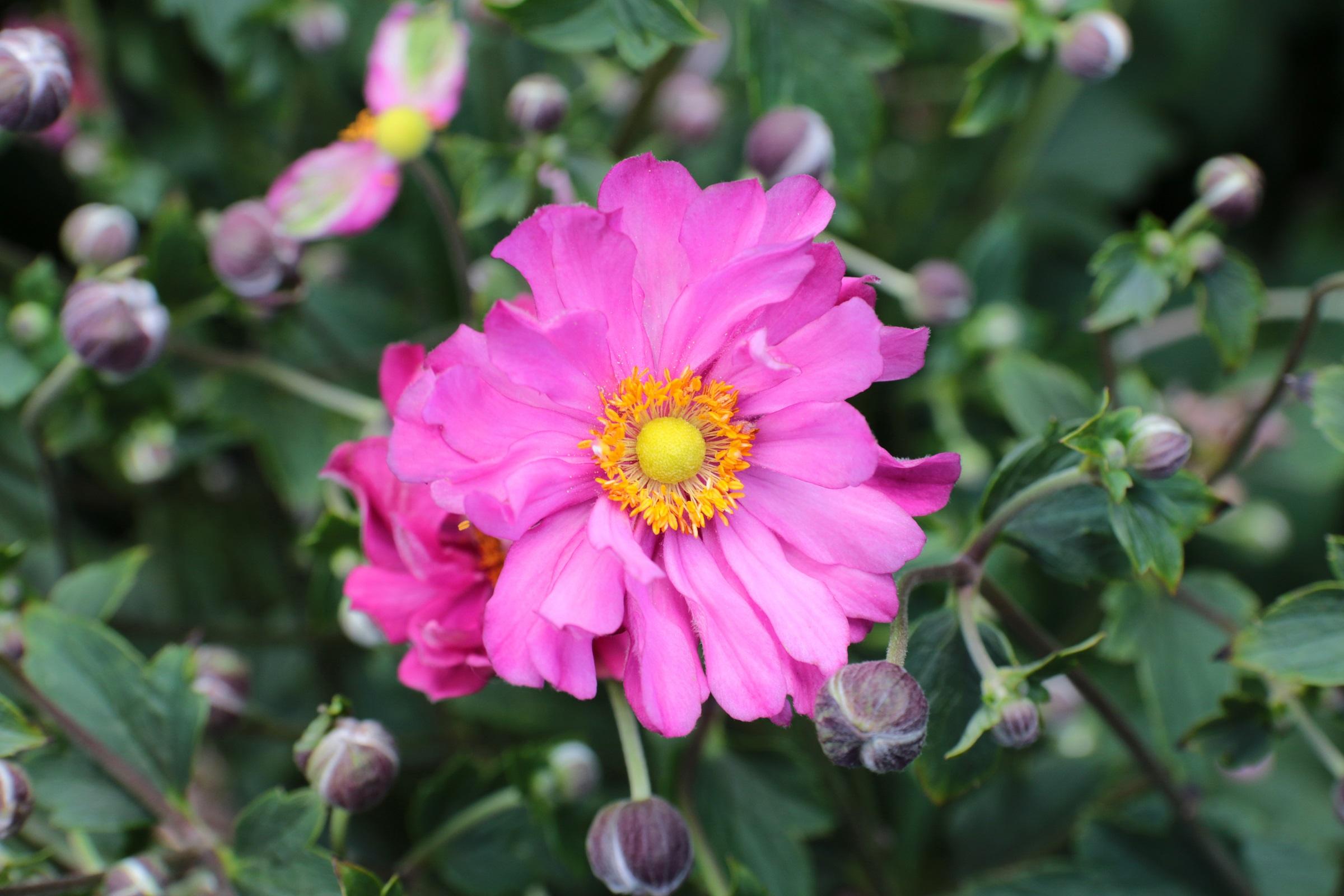 Herbst-Anemone (Anemone japonica) 'Margarete' T19, dunkelrosa - winterhart