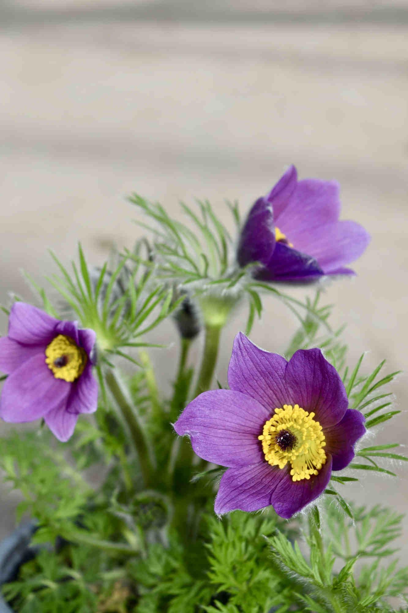 Küchenschelle 'Pinwheel Blue Violet Shades' - Pulsatilla vulgaris 'Pinwheel Blue Violet Shades'