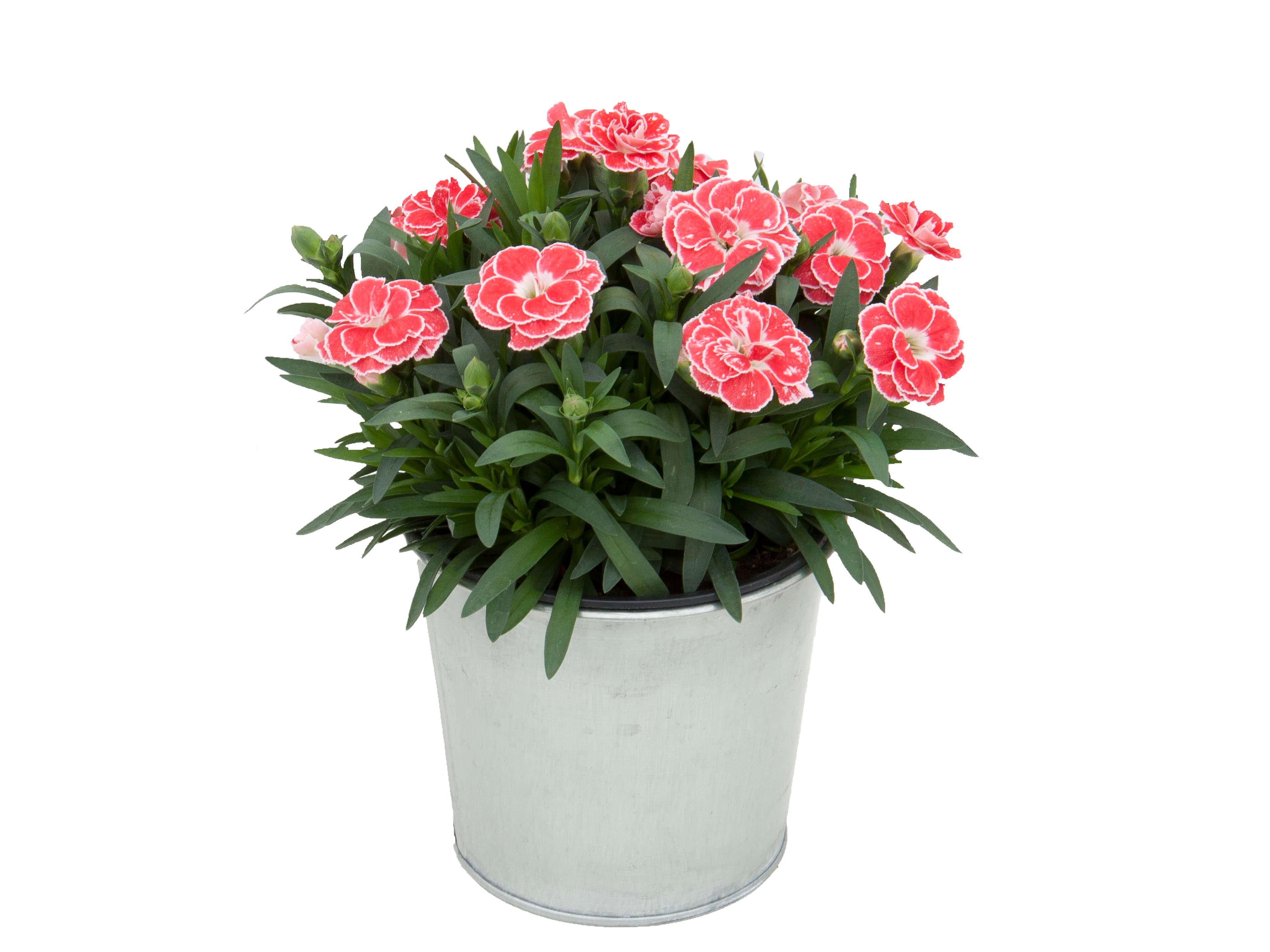 Nelke (Dianthus) T12 Oscar® 'White and Red' - gefüllt blühend