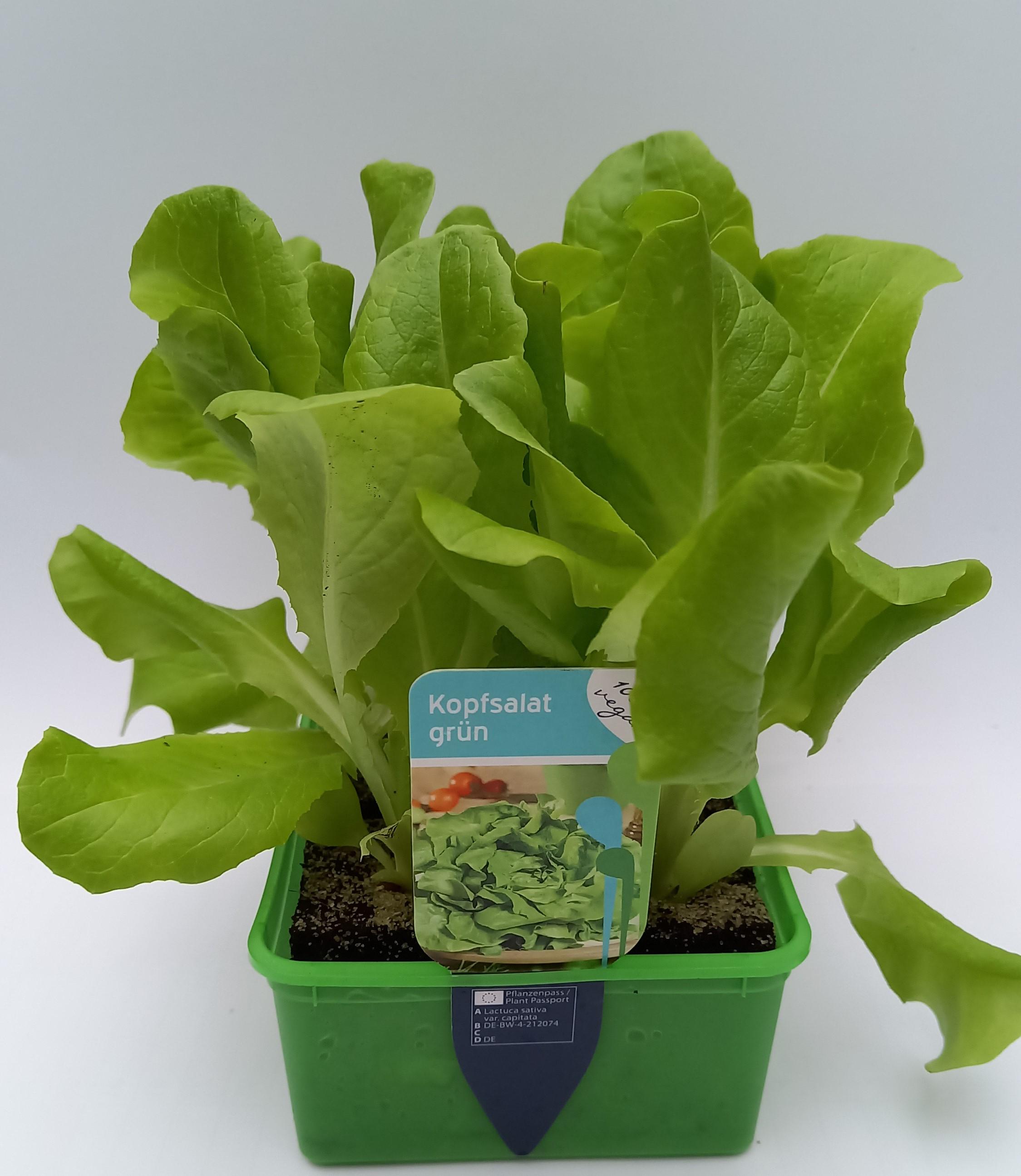 Kopfsalat grün 6er Schale
