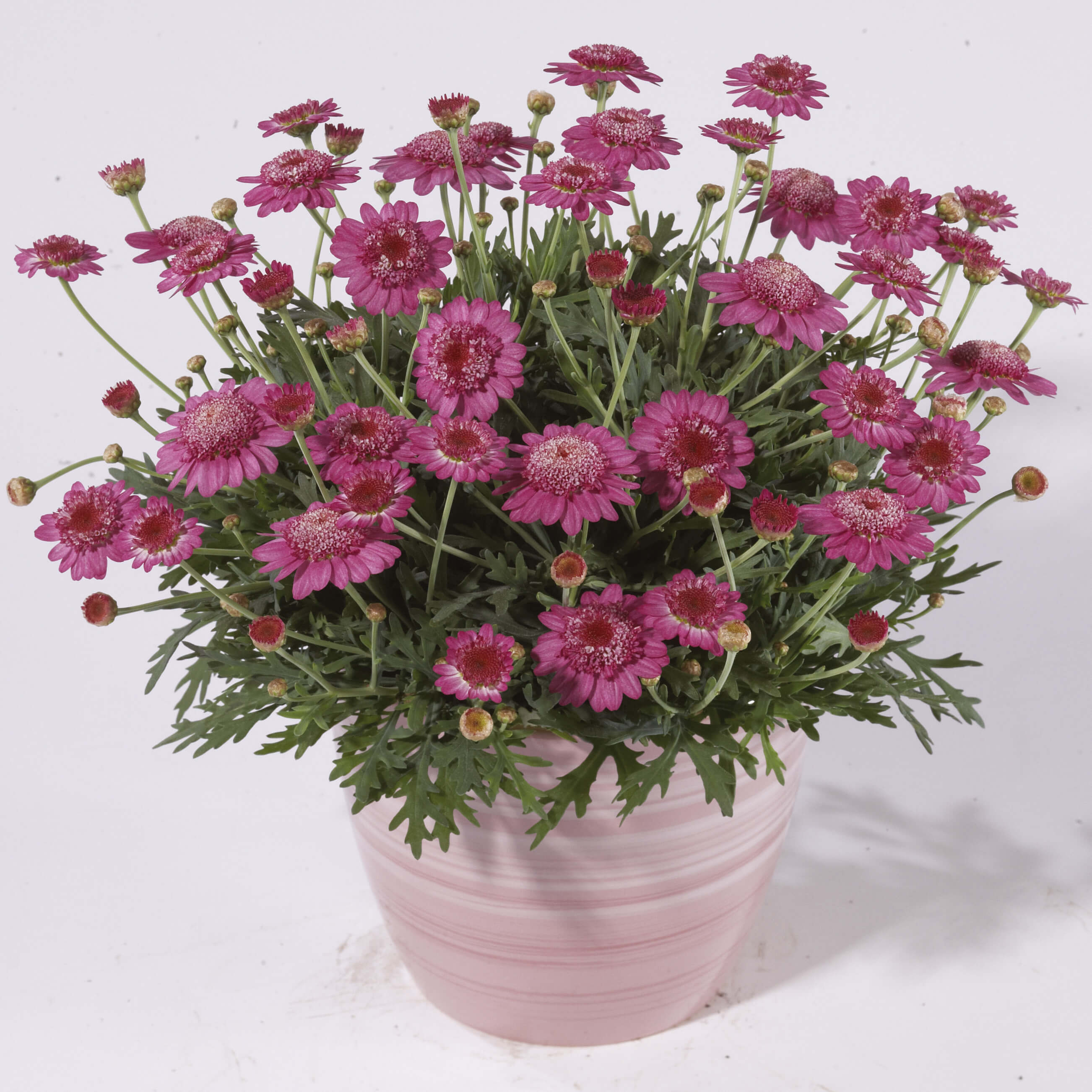 Strauchmargerite (Argyranthemum) 'Dark Pink' gefüllt