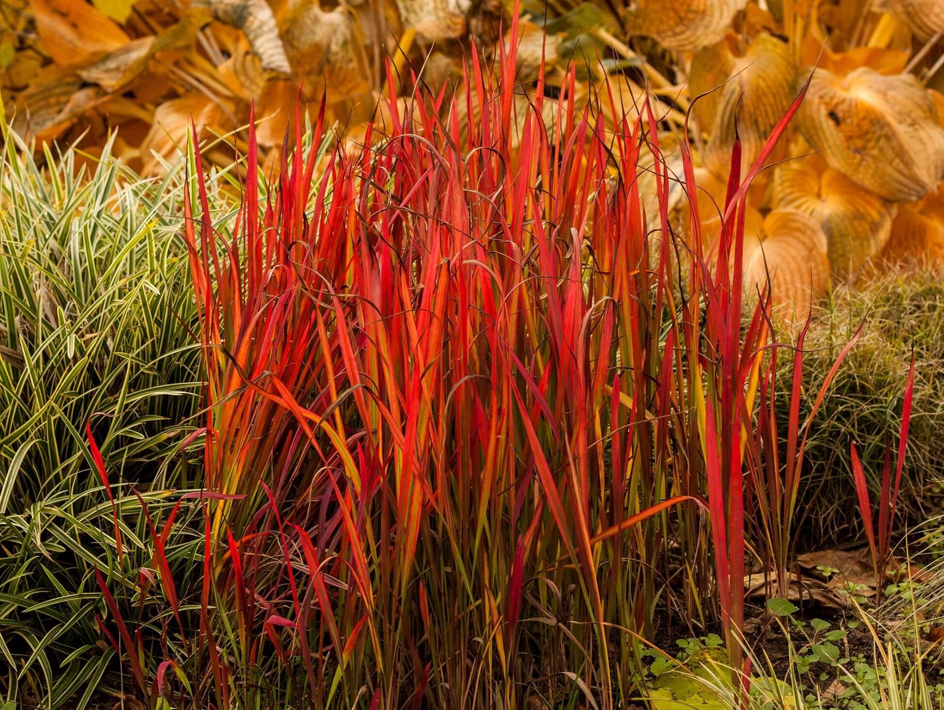 Imperata Red Baron © Vitroflora