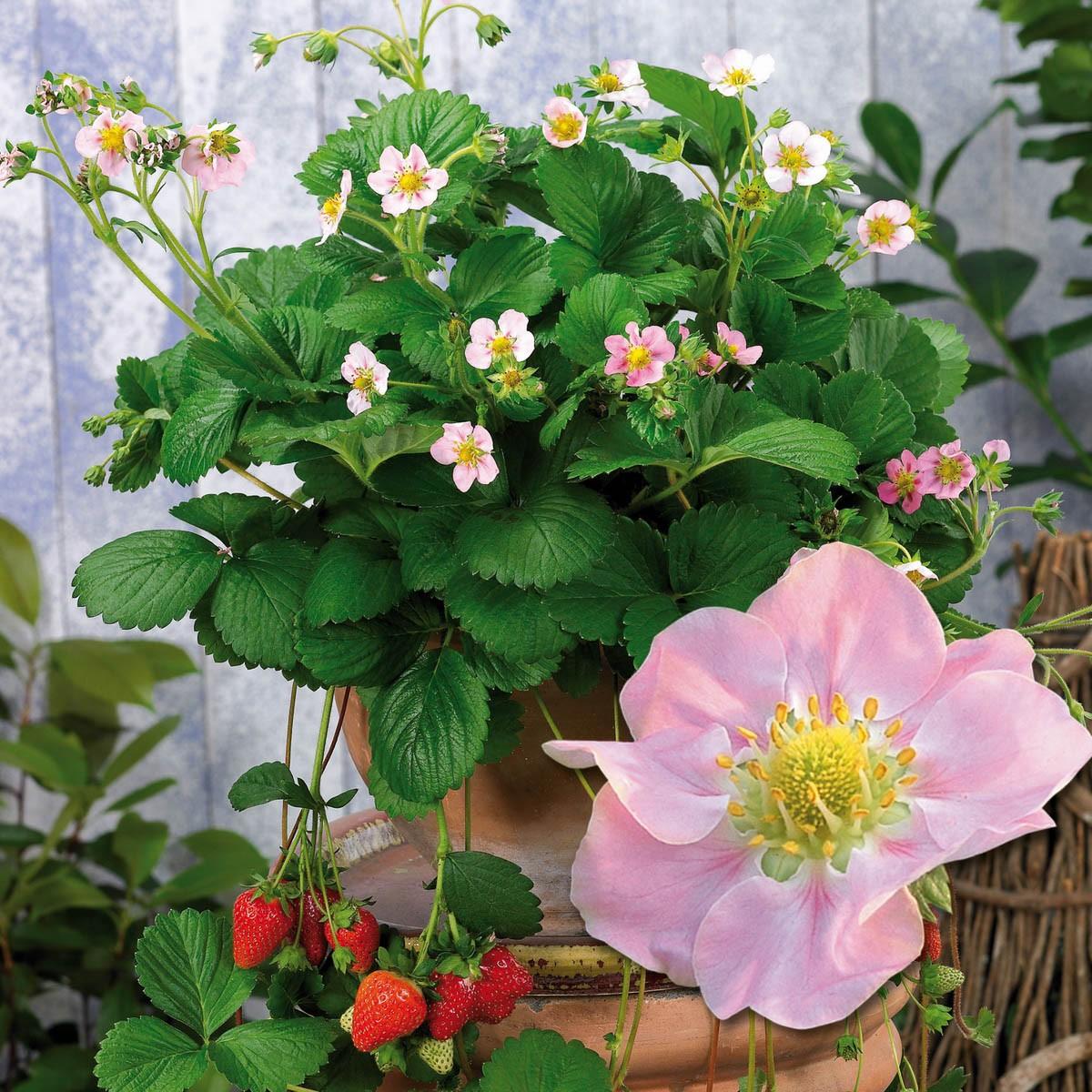 Aroma-Erdbeere 'Rosana'