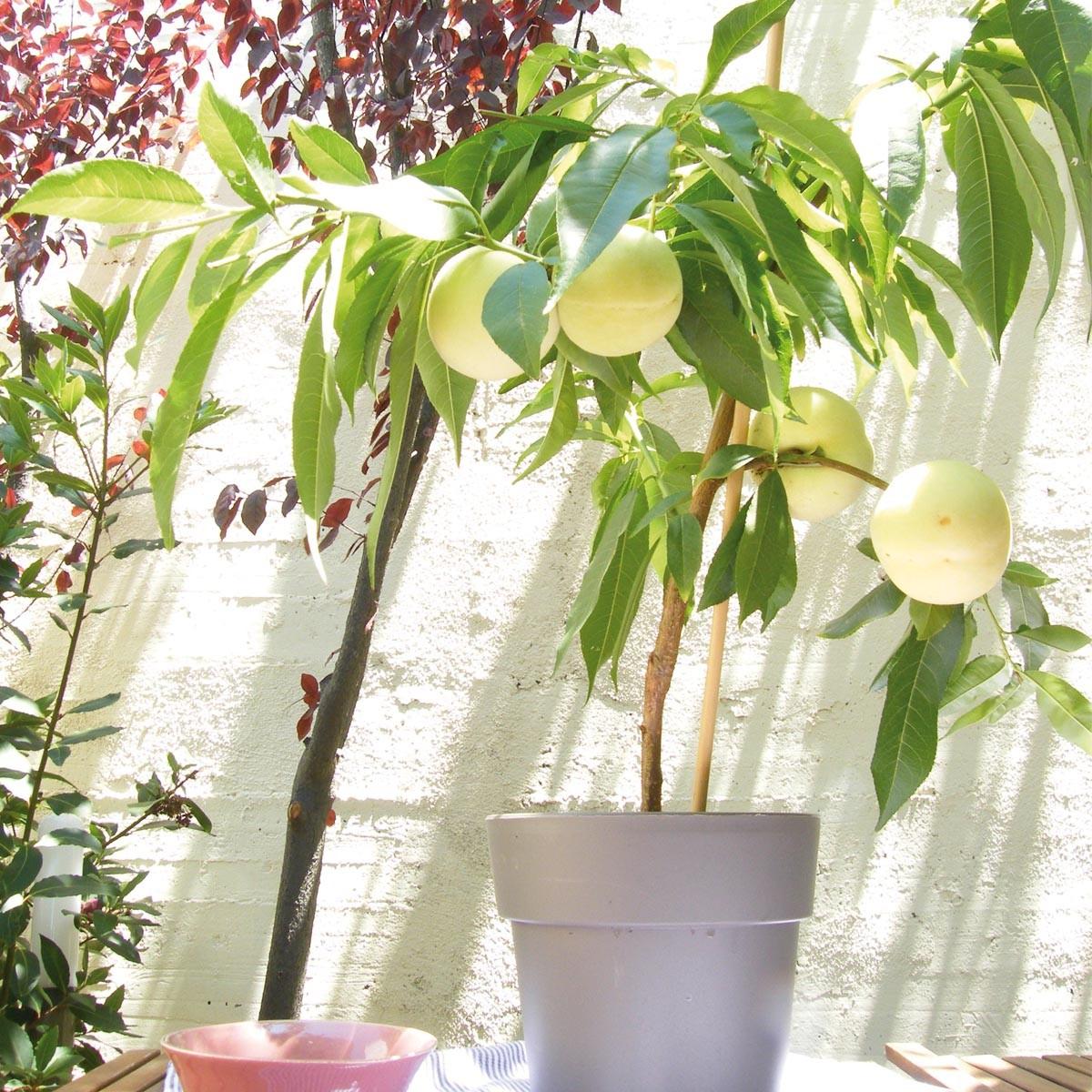Weißer Pfirsich 'Fruit Me® Icepeach®'