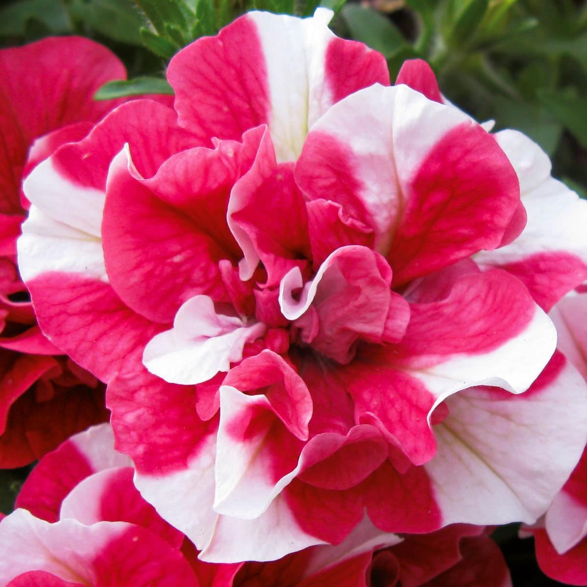 Petunie 'Tumbelina® Cherry Ripple' gefüllt hängend